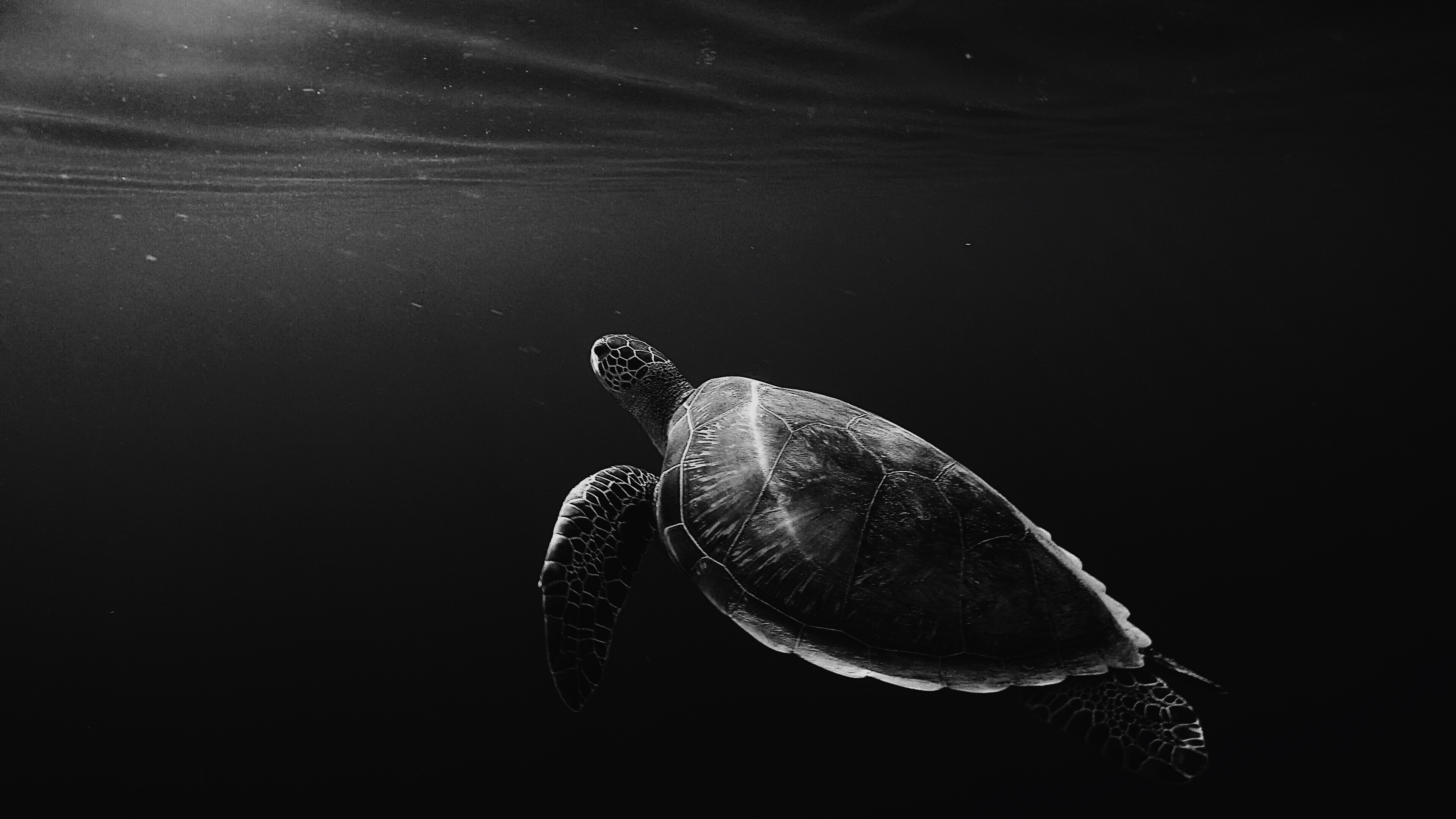 Black and white underwater shot of lone turtle swimming in sea