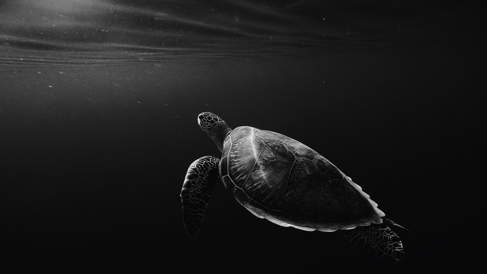 Download black wallpapers unsplash black and white underwater shot of lone turtle swimming in sea voltagebd Choice Image