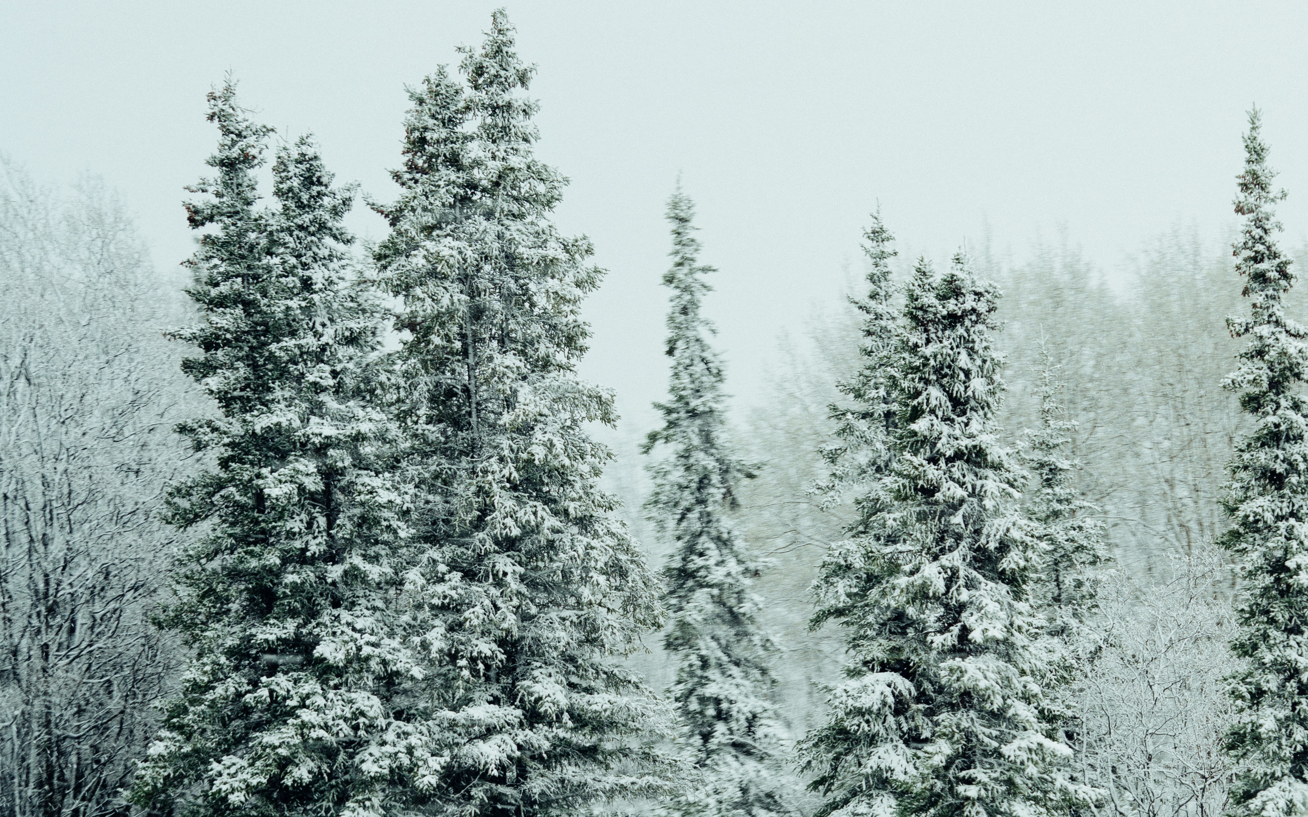 The tops of evergreen trees in a snowy forest