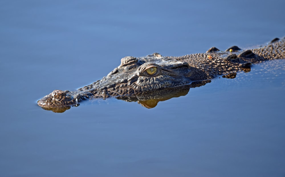 alligator on body of water