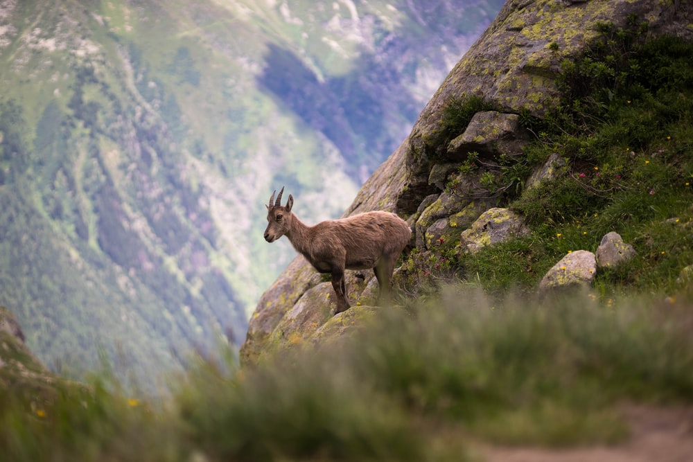 selective focus photography of brown deer on mountain