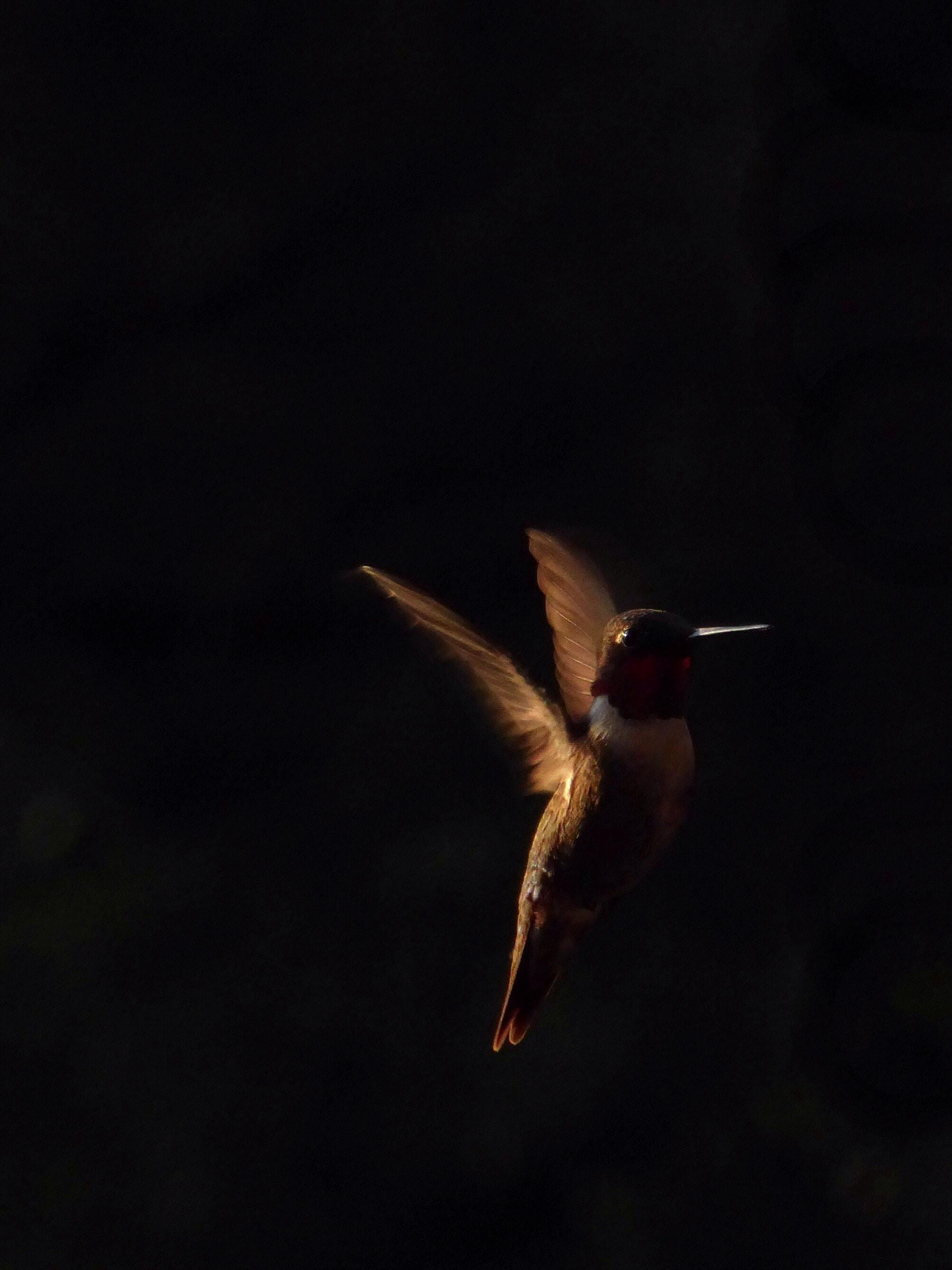 Portrait of a hummingbird in flight against a dark background