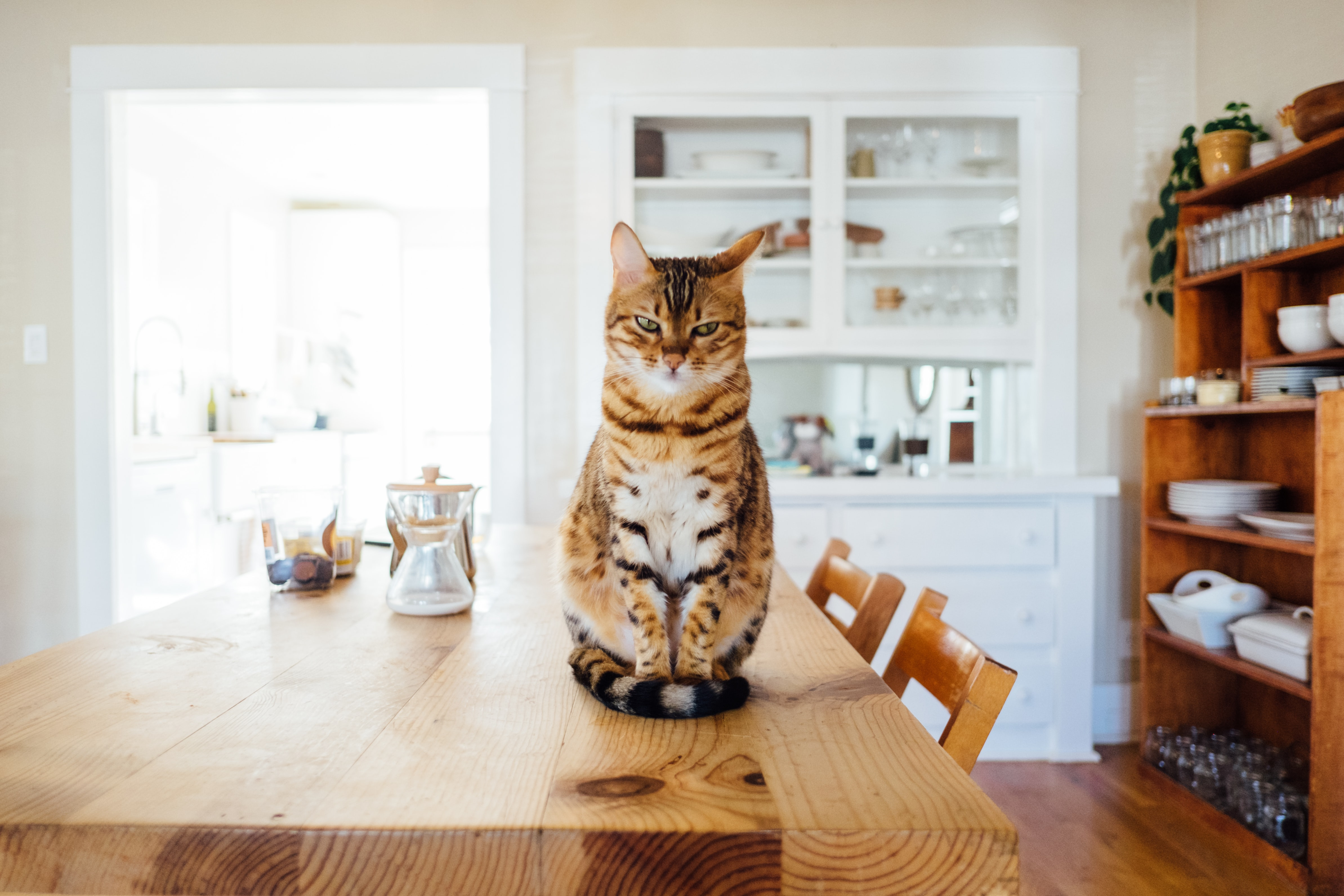 Striped cat sitting on a wood dining table in a modern, brightly lit home