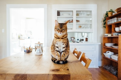 orange and white tabby cat sitting on brown wooden table in kitchen room cat zoom background