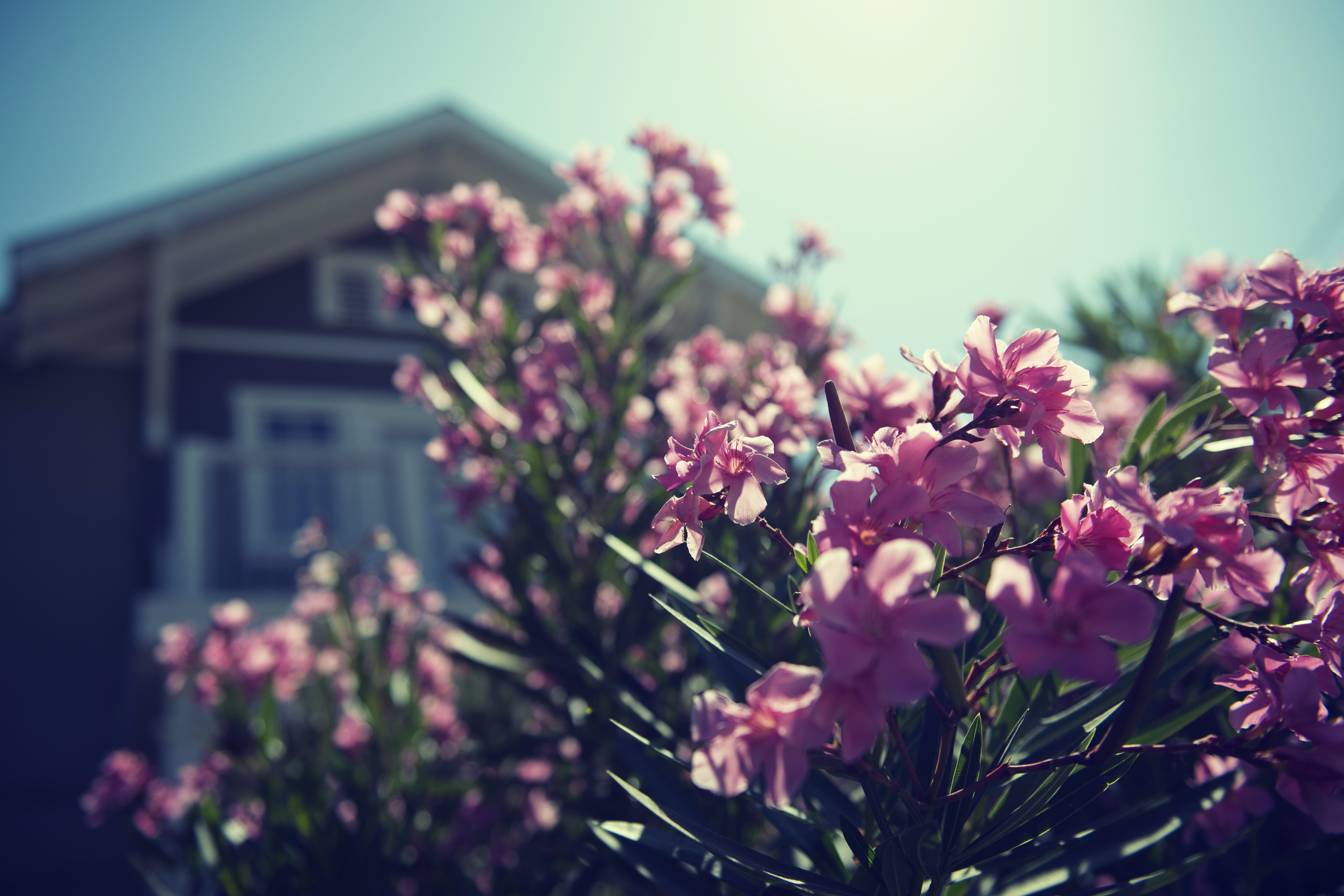 A bush with pink flowers in the front yard.