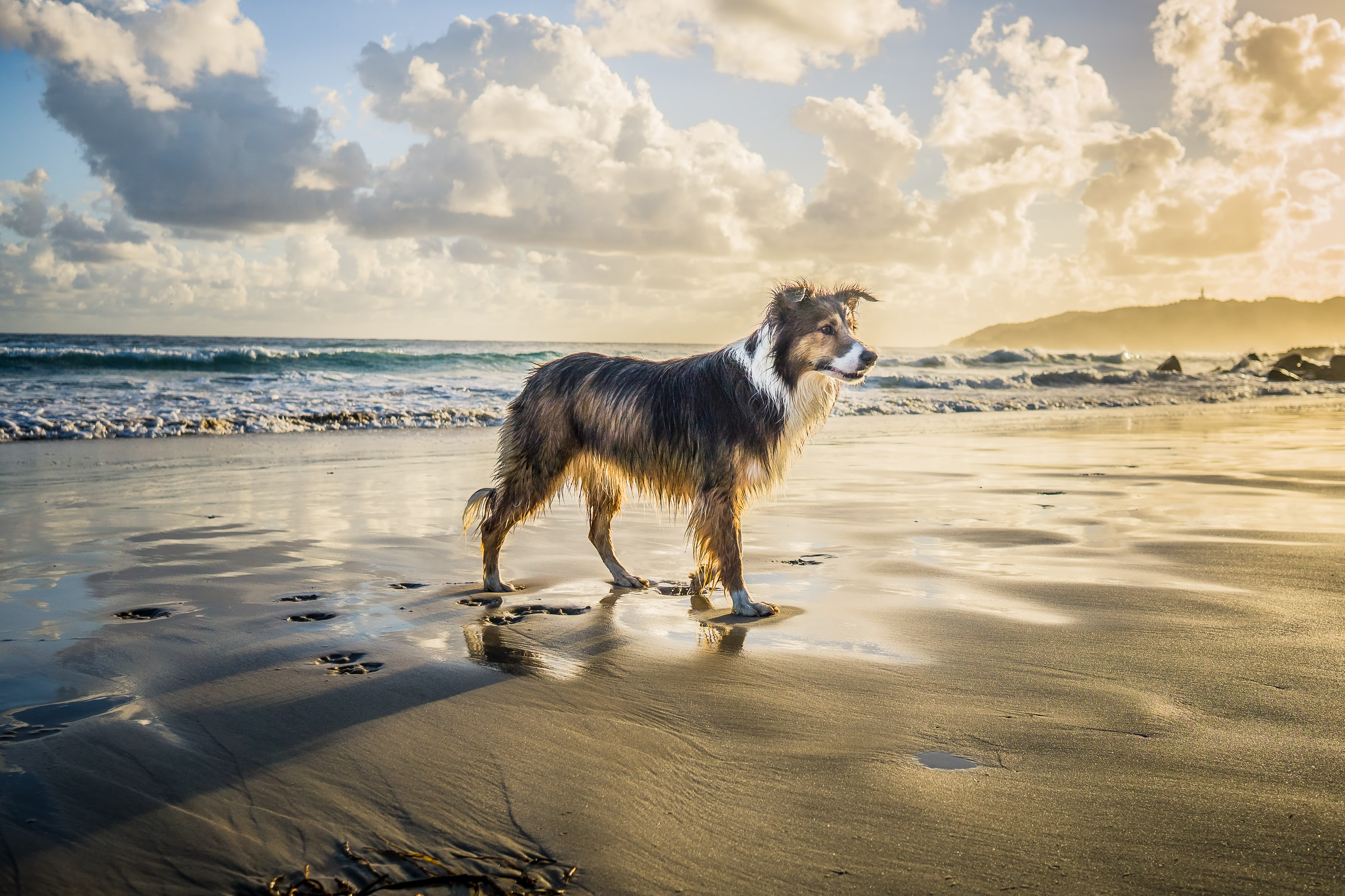 HDR of a Border collie emerging from the water leaving footprints in the sand under a bright, partially cloudy sky