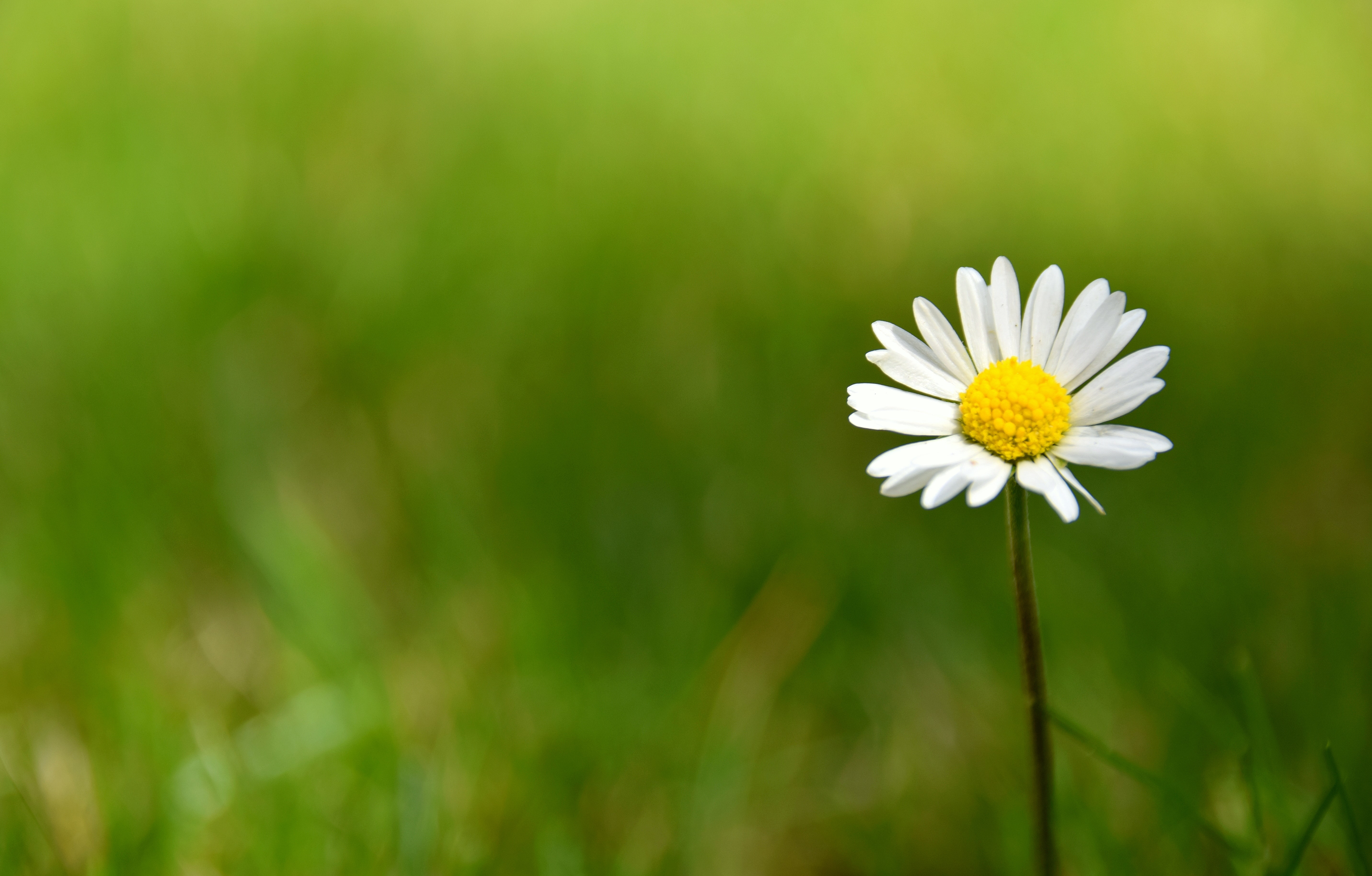 Single daisy grows in a green grassy field