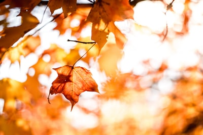 close-up photography of maple leafs with shallow depth of field autumn teams background