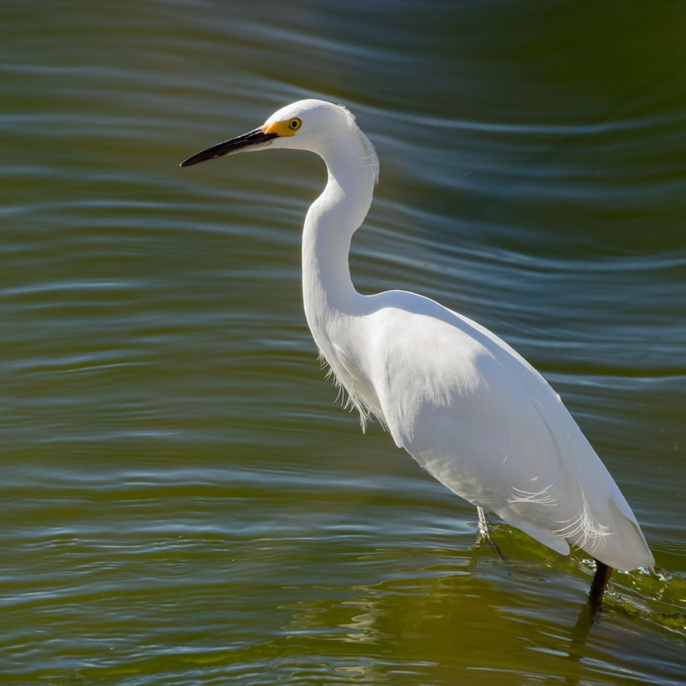 long-beaked white bird on body of water