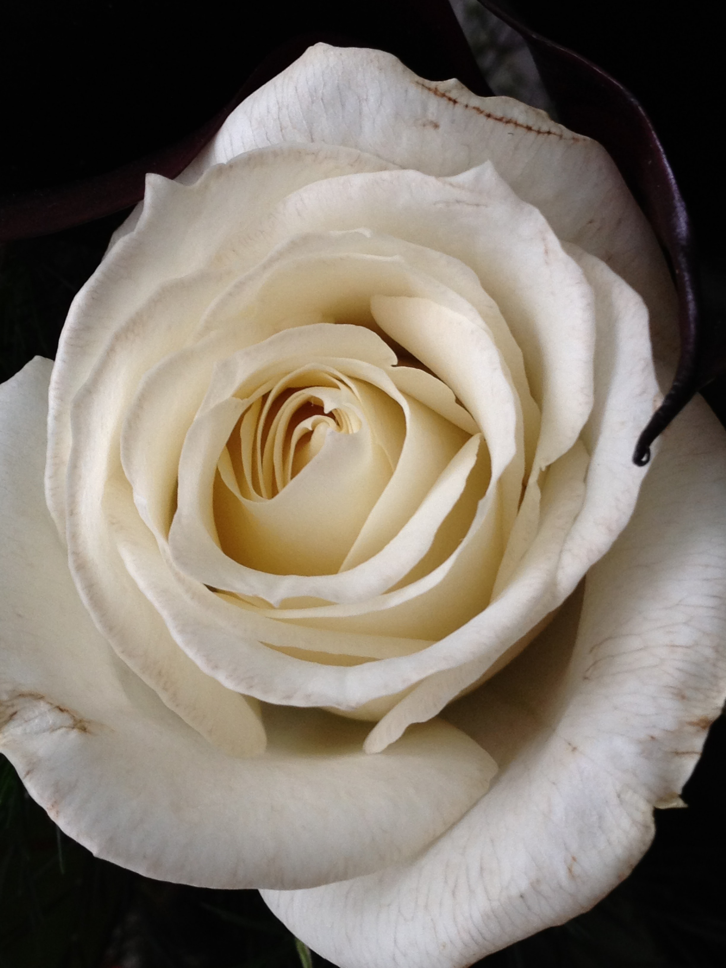 photo of white rose flower