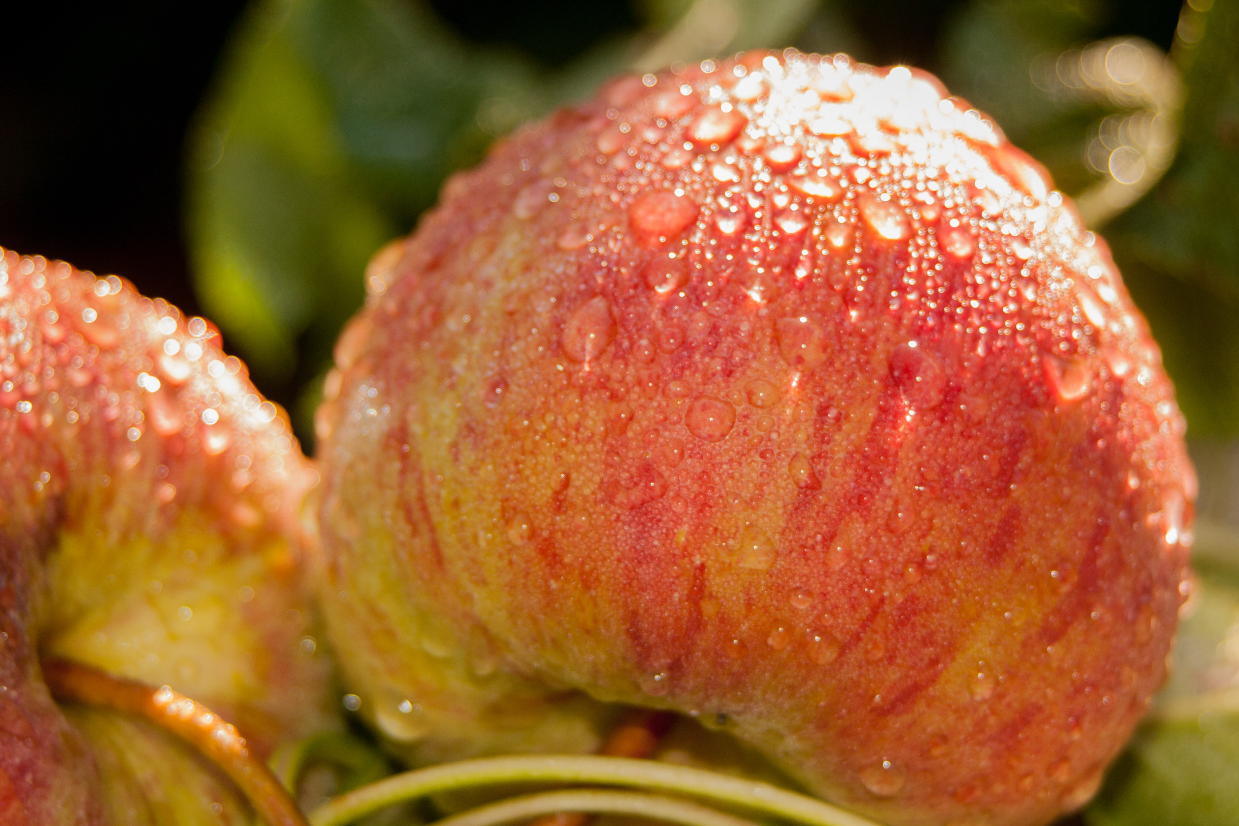Two peaches covered in dew