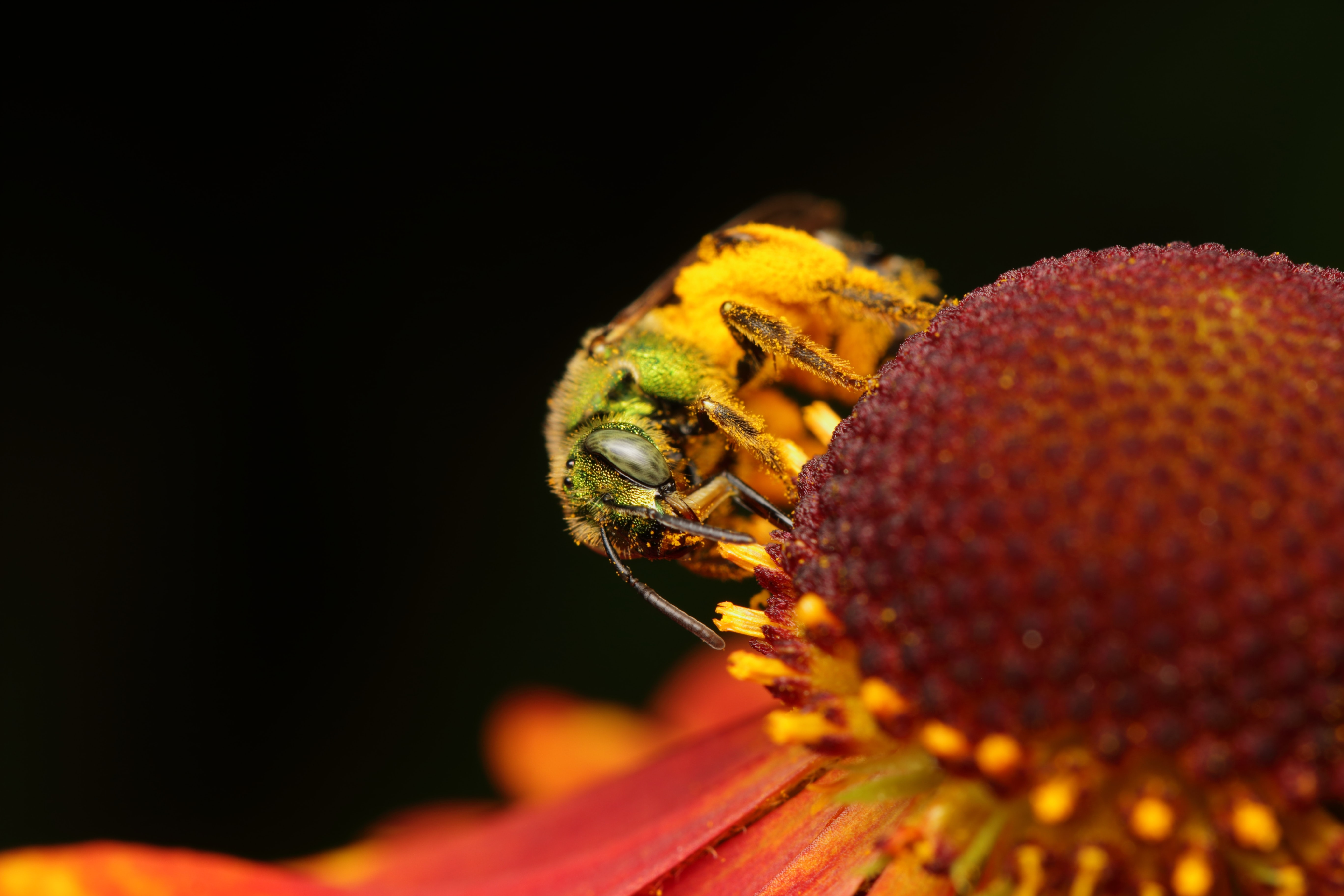 macro photo of a bee covered in pollens on red flower