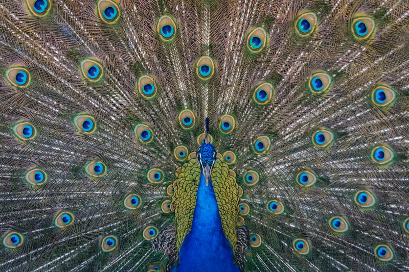 close up photography of blue peacock painting