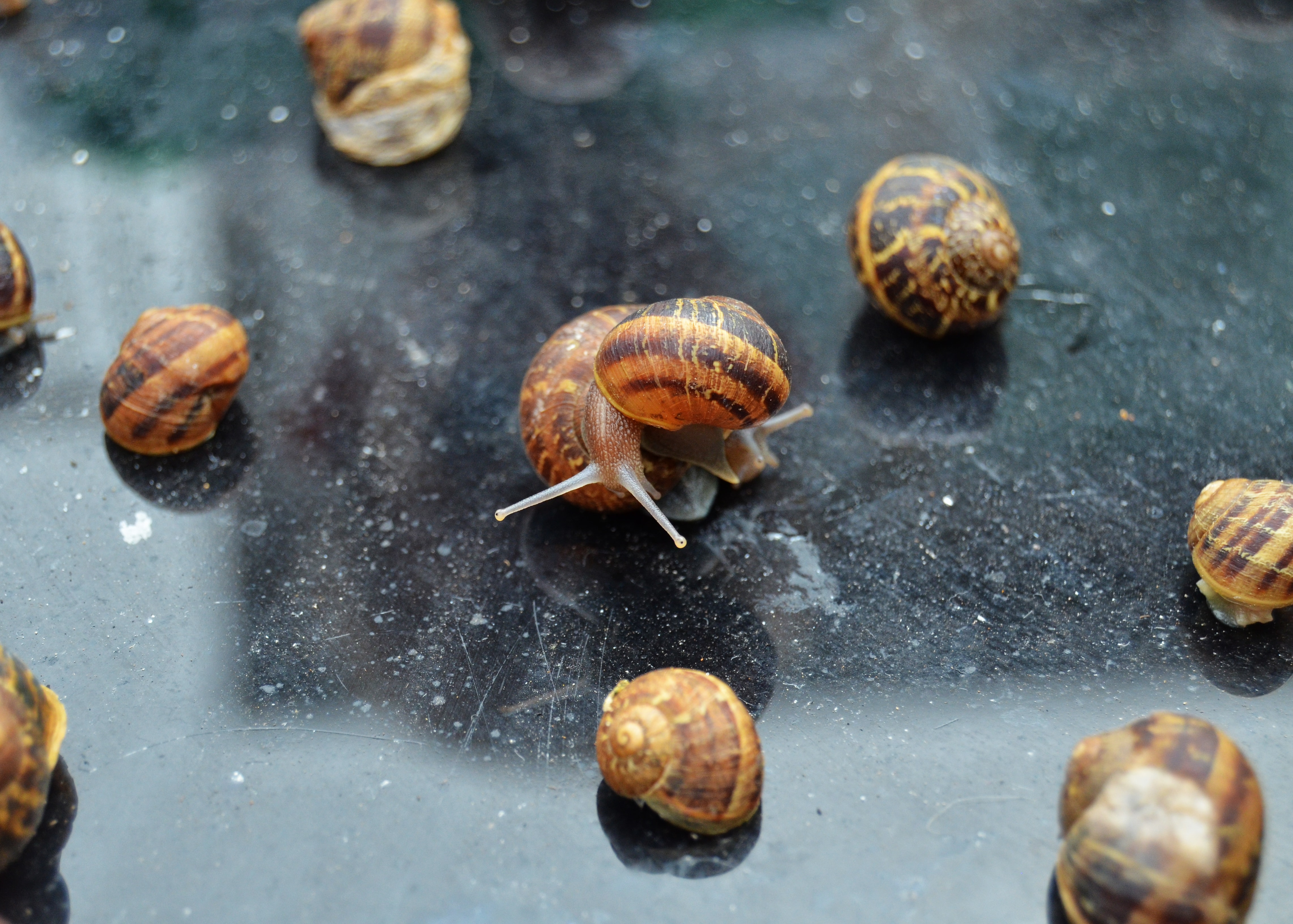 brown-and-black snails