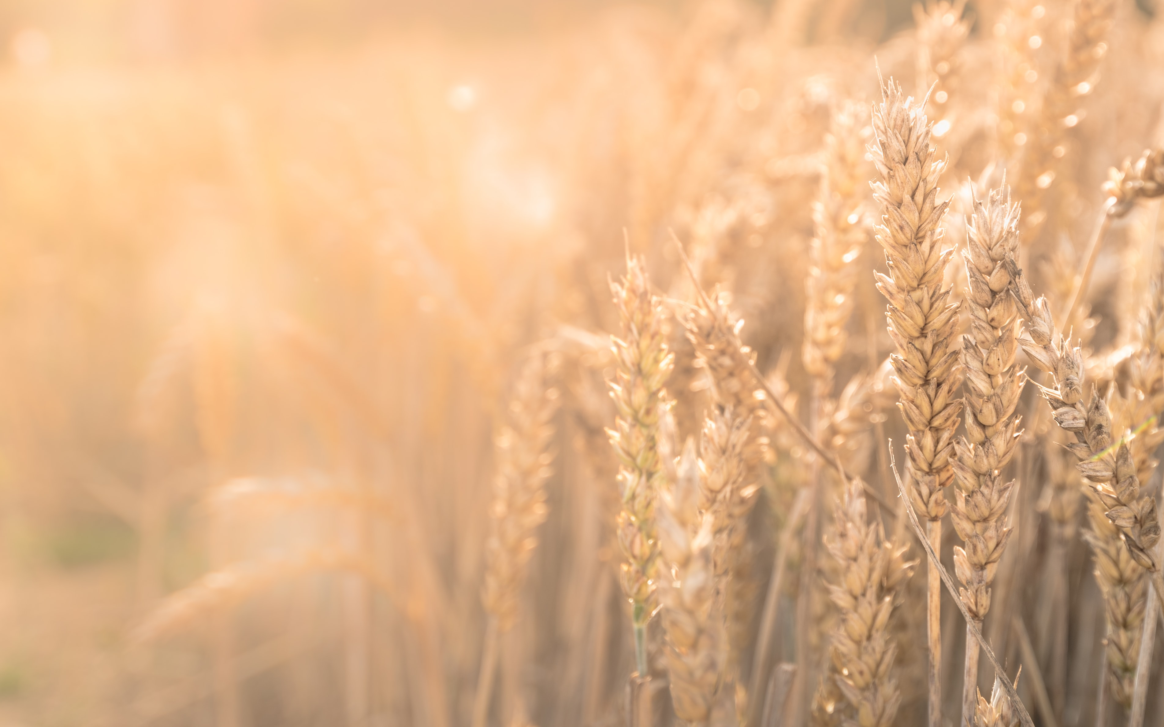 Sunshine glows on a field of wheat plants