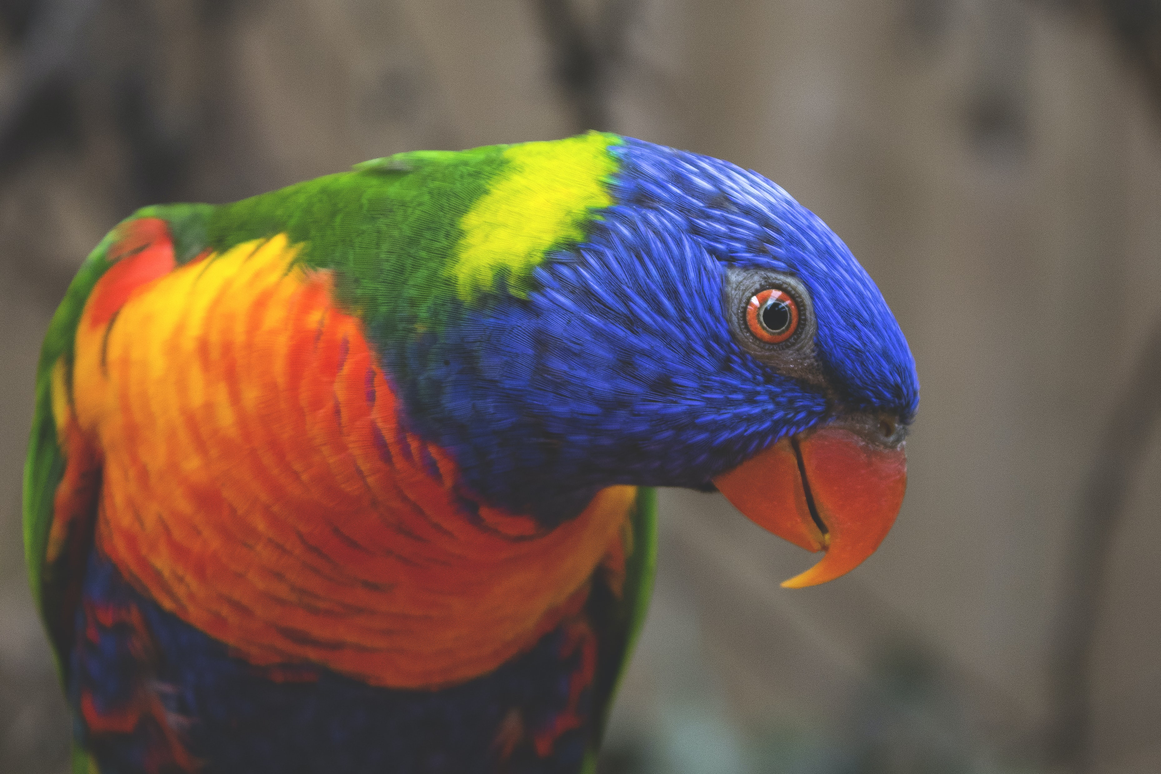 Multicolored parrot tilting its head