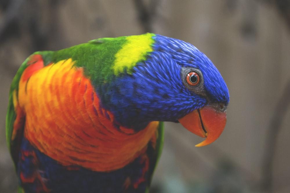 blue, green, and orange bird
