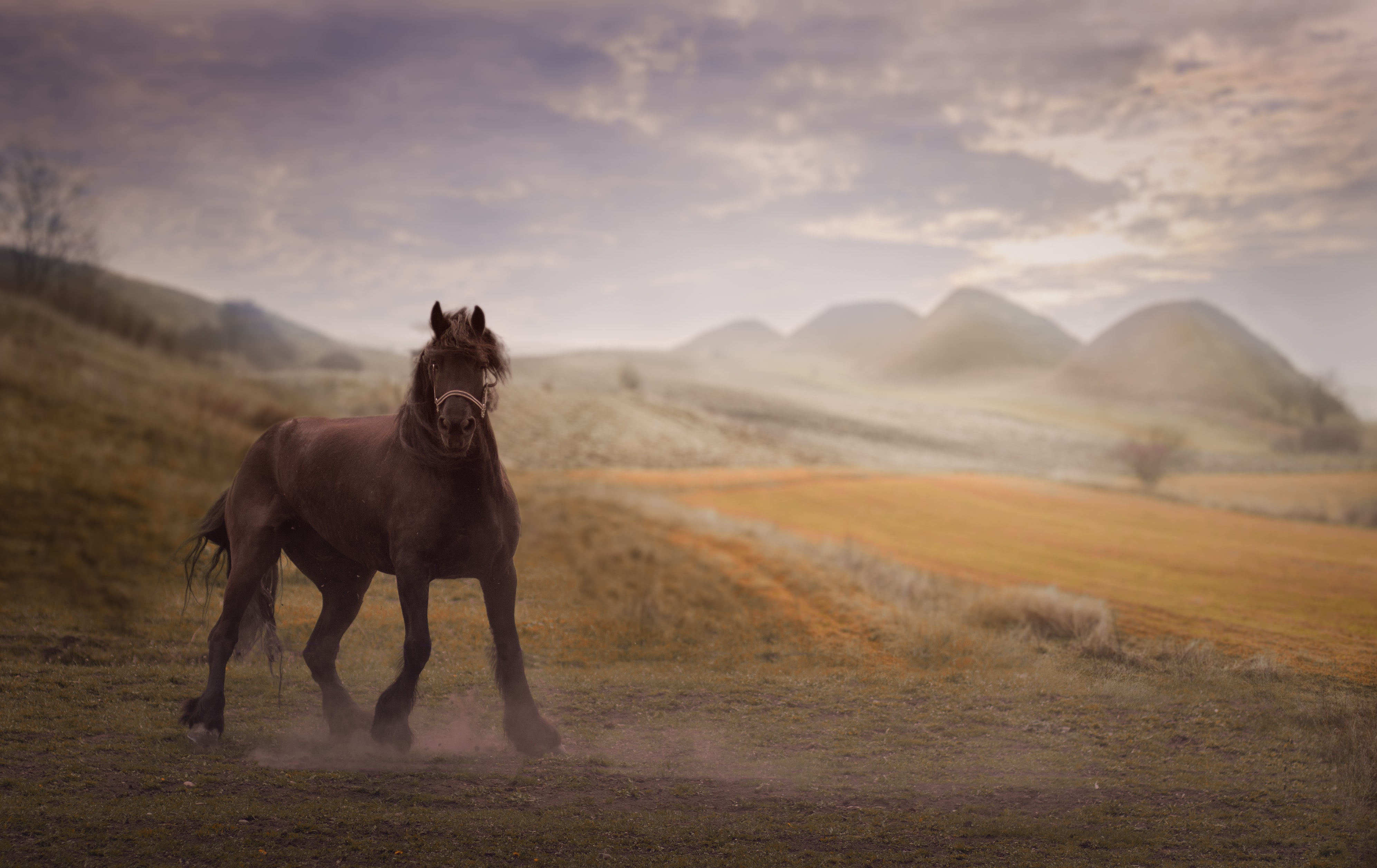 Wild stallion gallops through a dusty field in the country