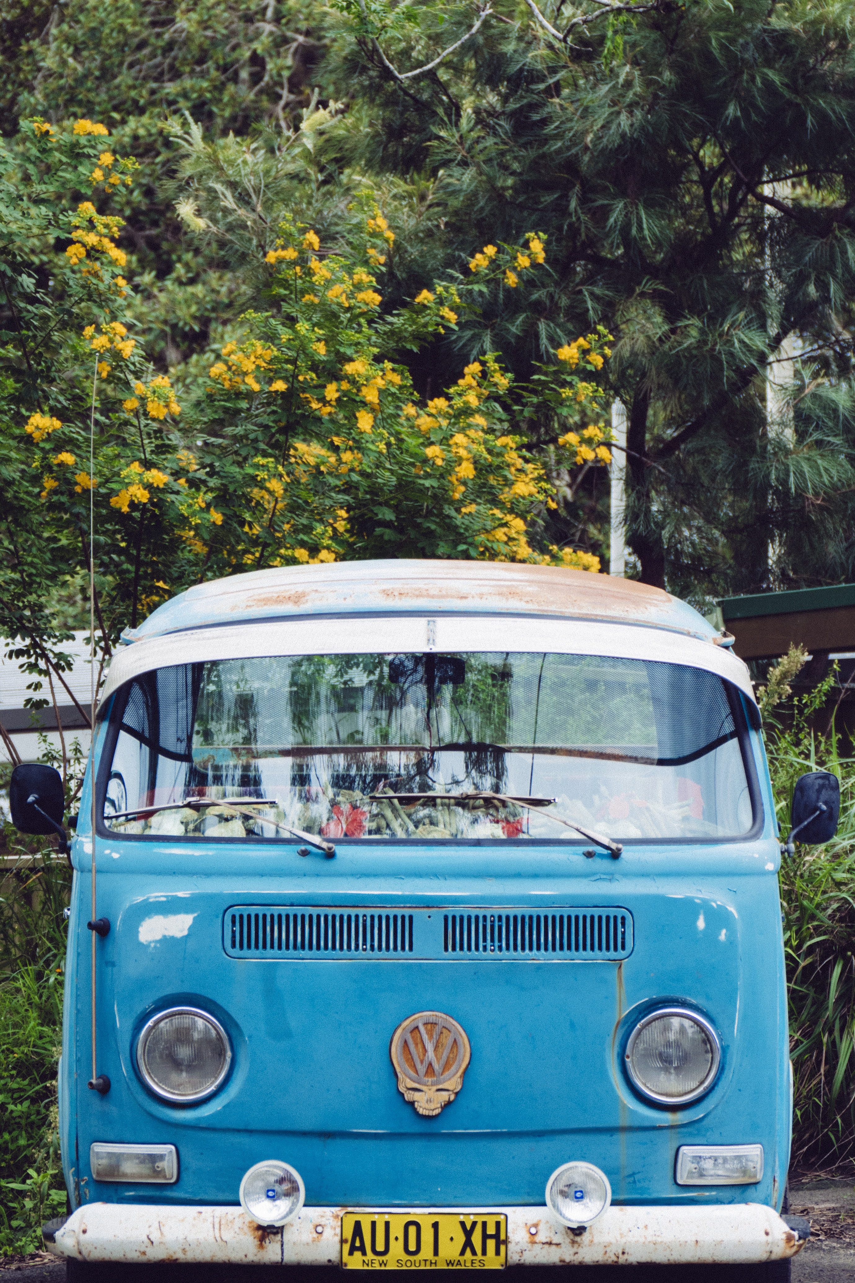 The front of a blue and white vintage Volkswagen bus parked in front of a yellow blooming tree