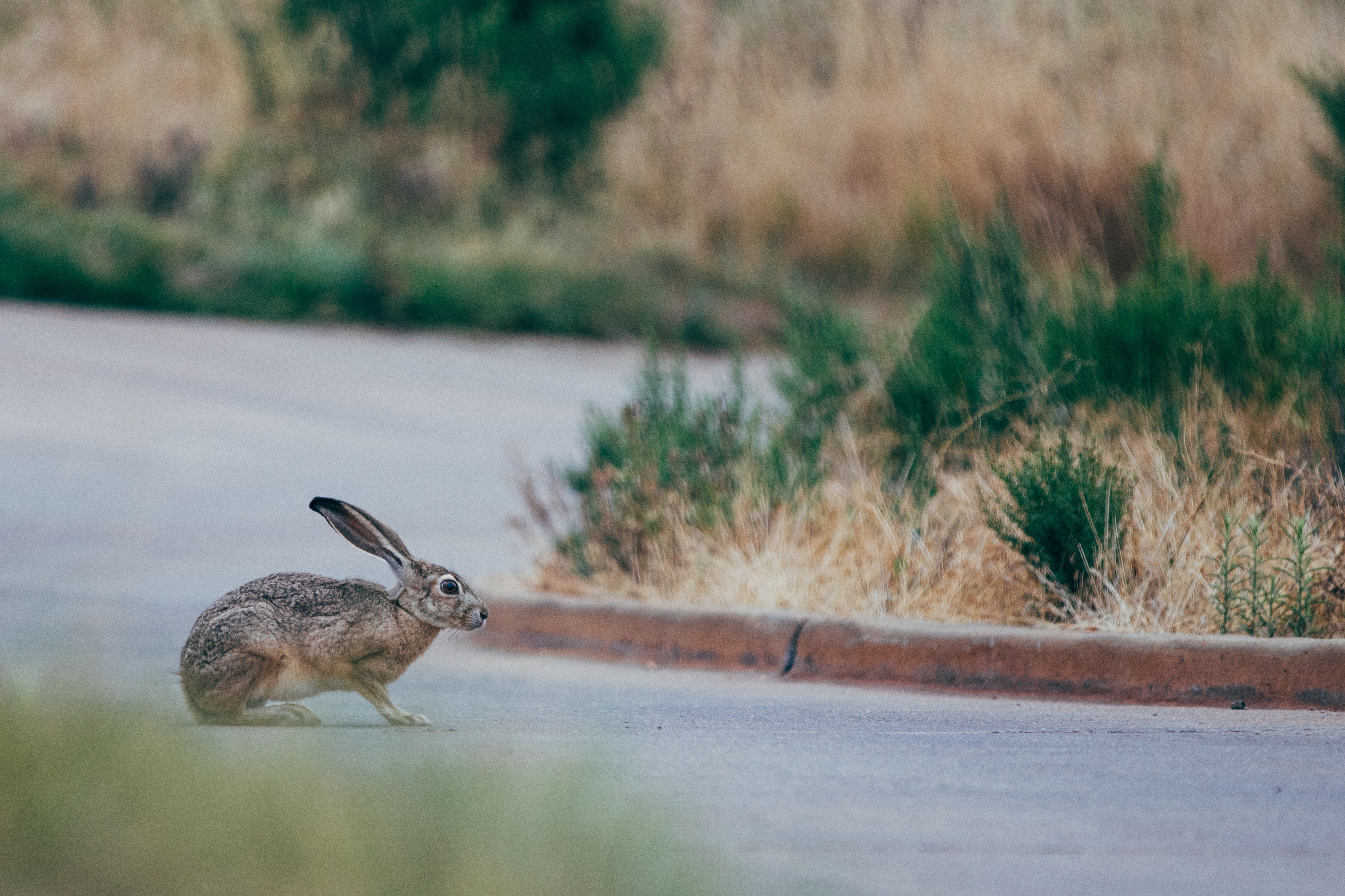 A thin rabbit crossing a street with a grassy curb