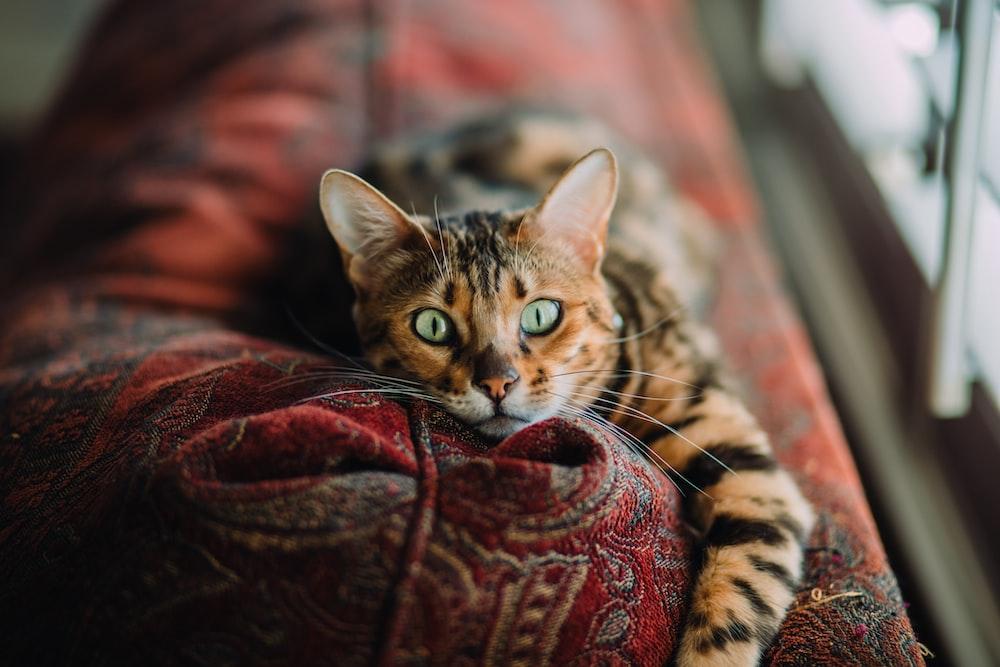 short-fur orange and black cat