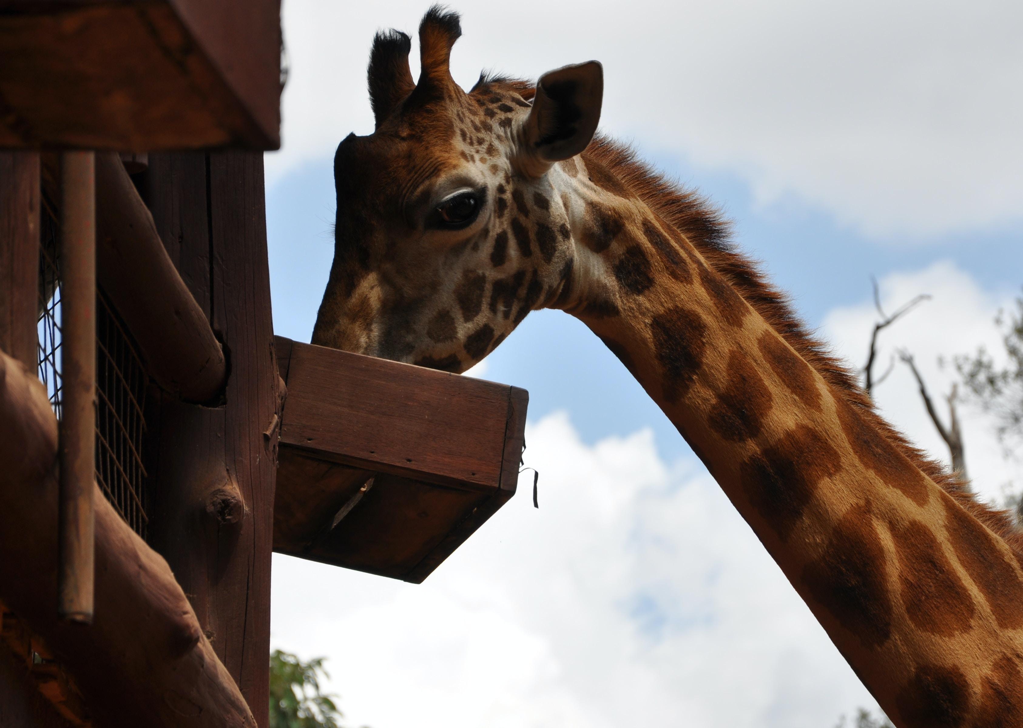brown giraffe during daytime