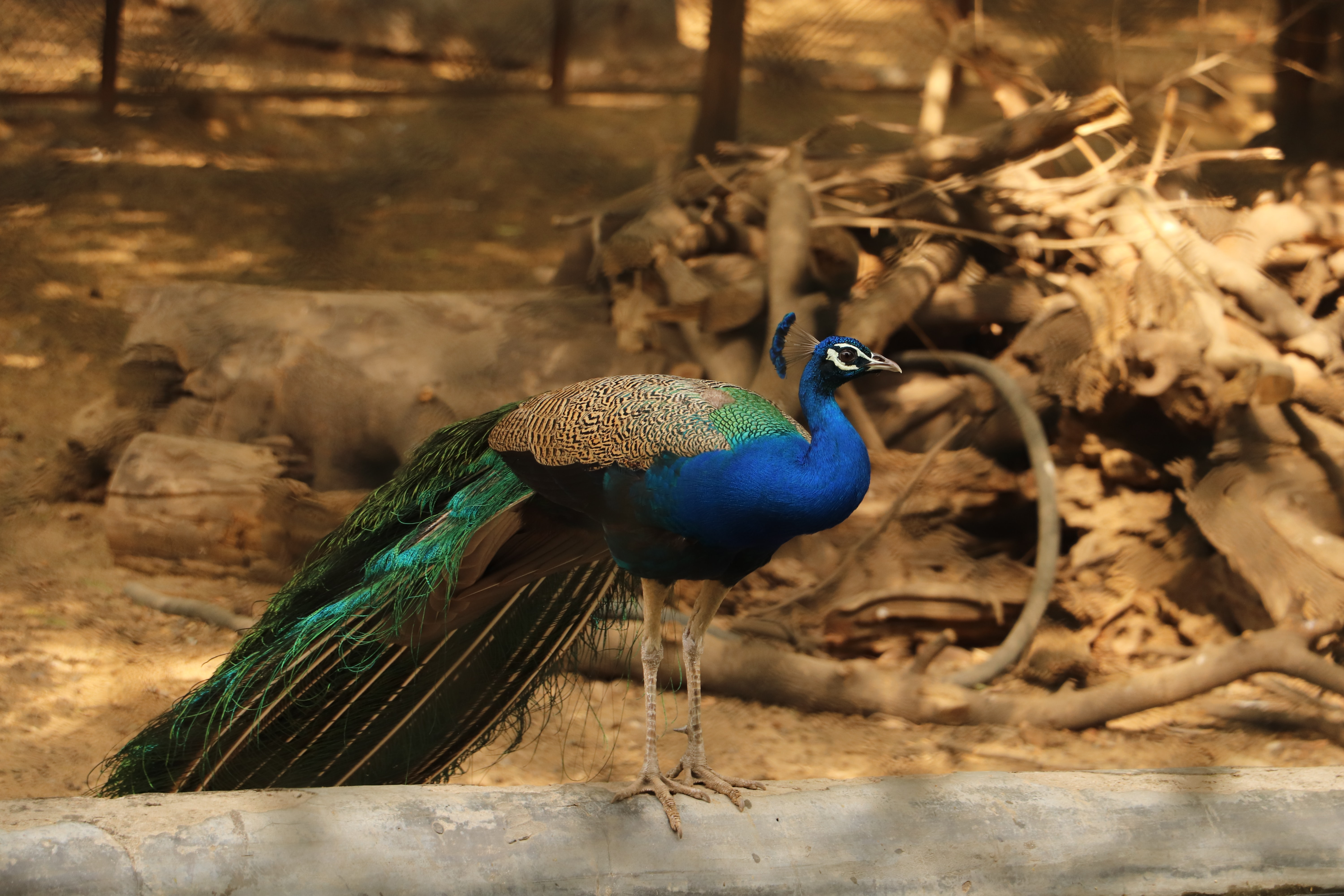 blue and green peacock on brown wood log