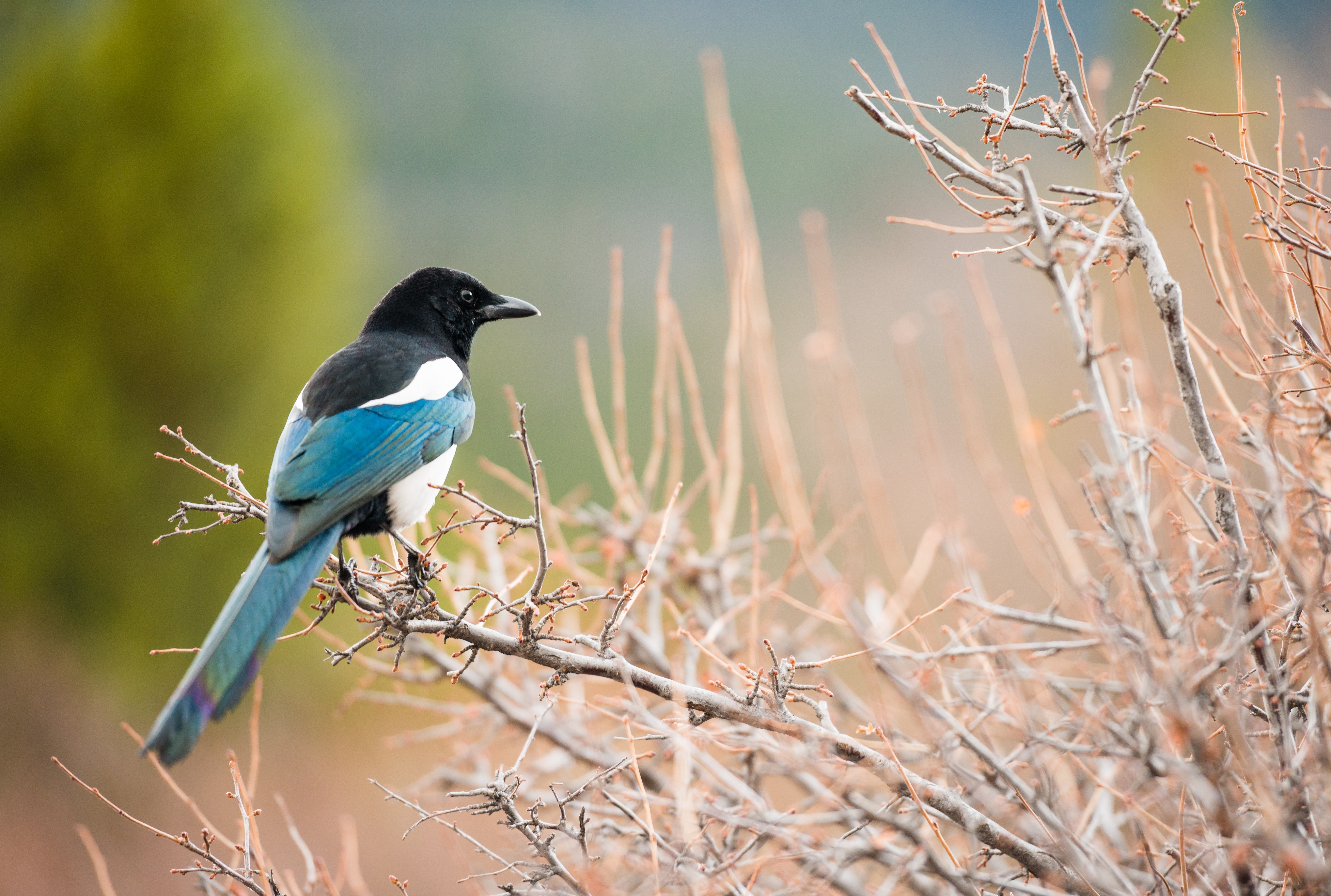short-beaked black and blue bird perched on brown branch selective focus photography
