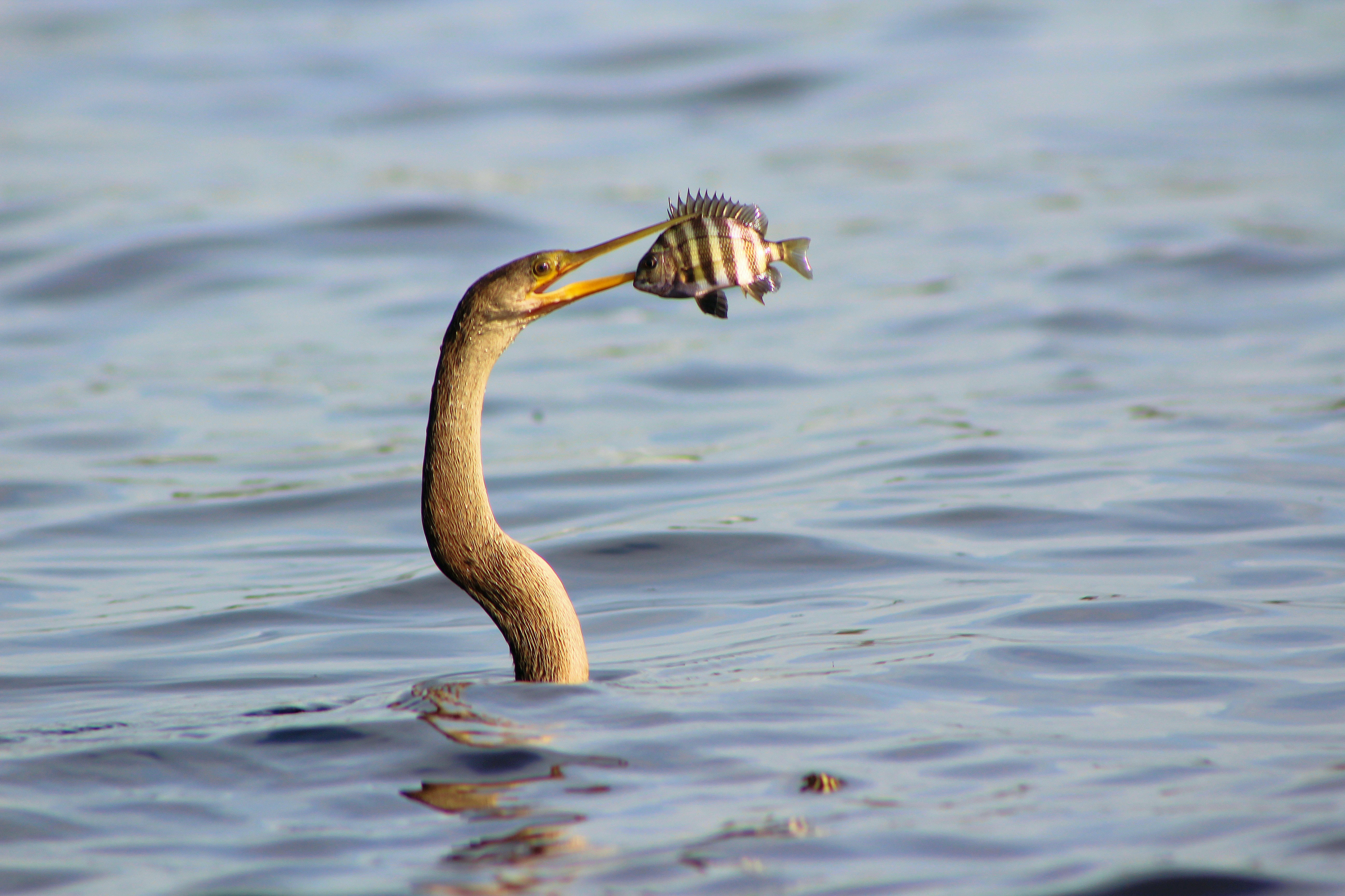 A long fish with a long beak catching another fish mid air just over the surface of the water
