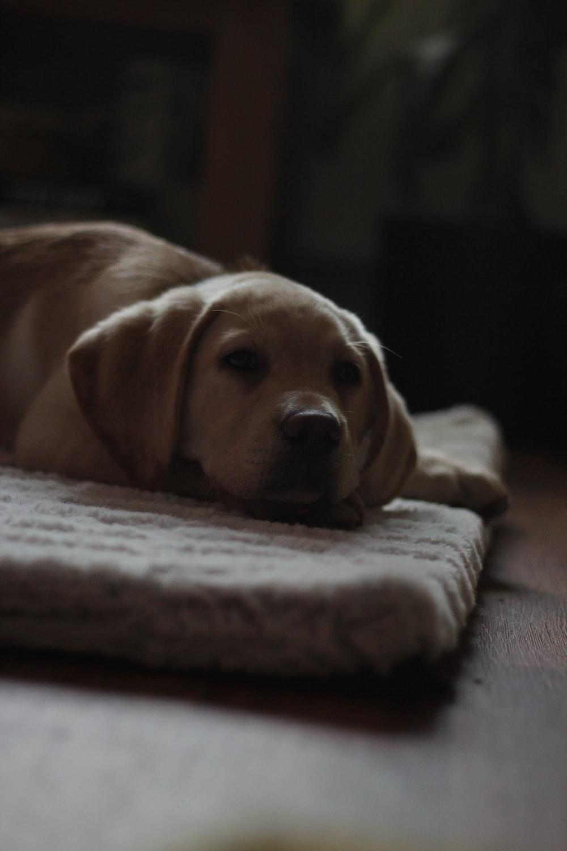 beige dog on rug