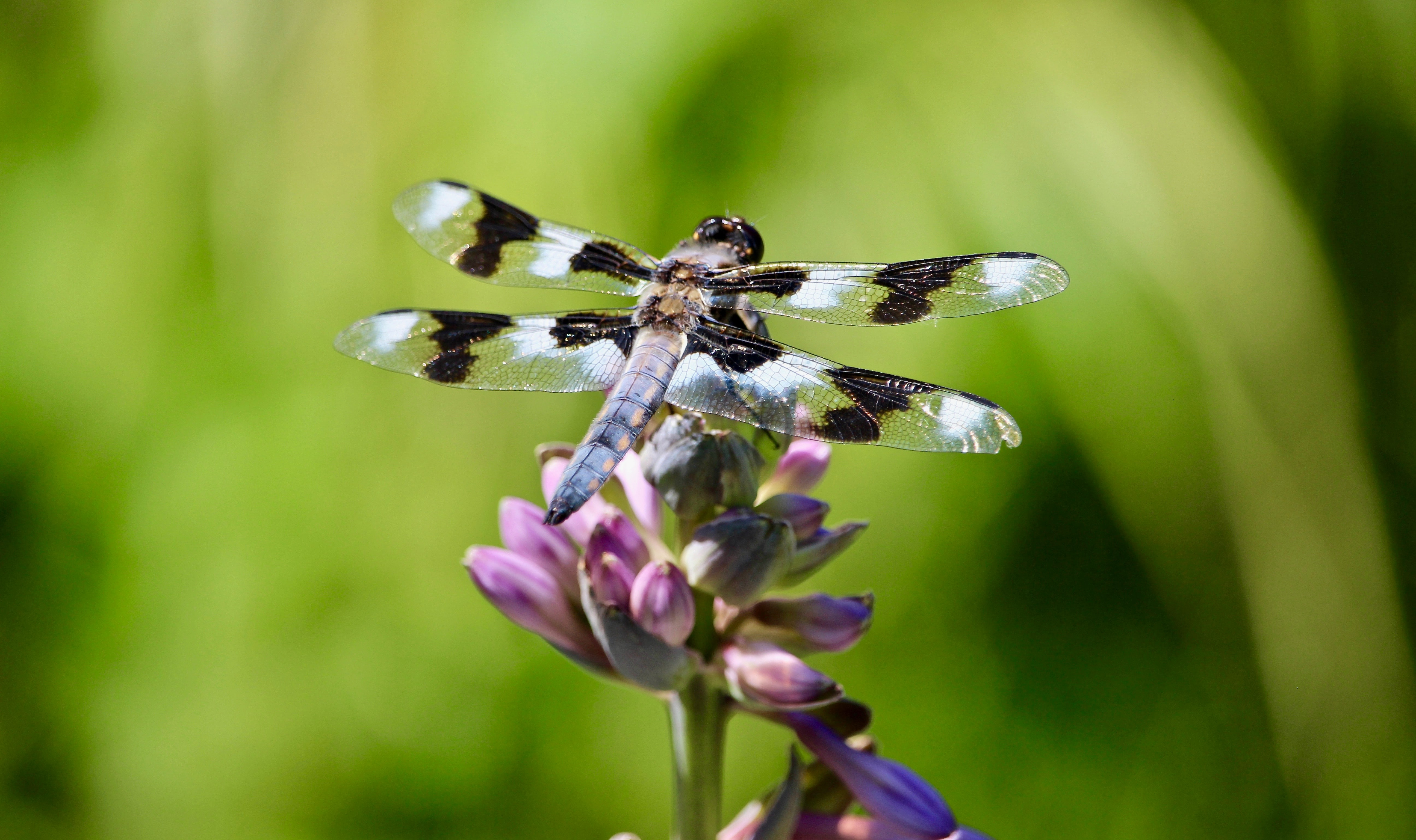 gray and black dragonfly on flower