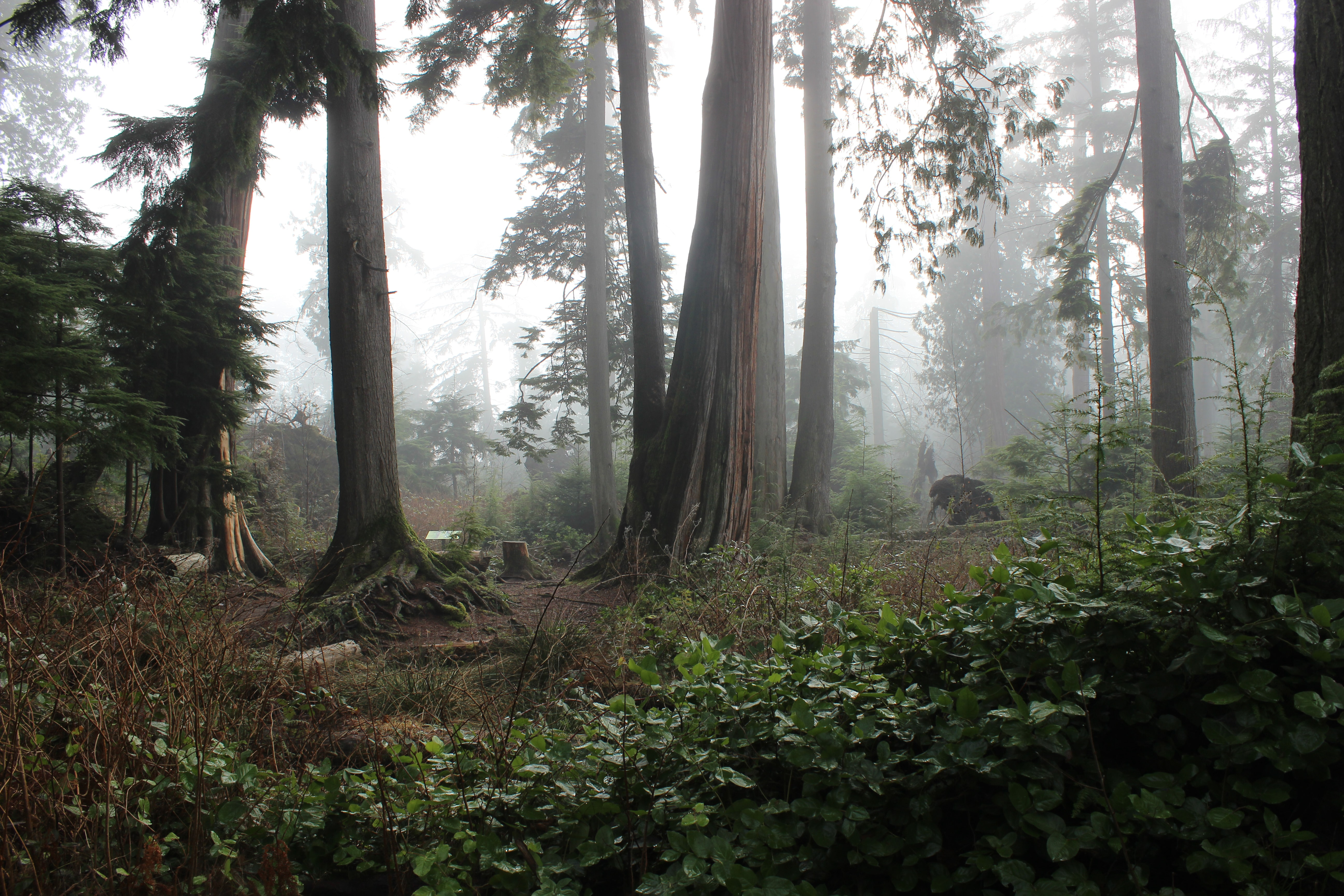 A number of mighty trees on a foggy day in Stanley Park