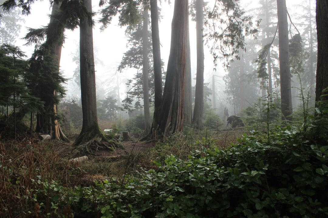 Large trees in fog