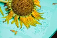 wet sunflower on teal surface