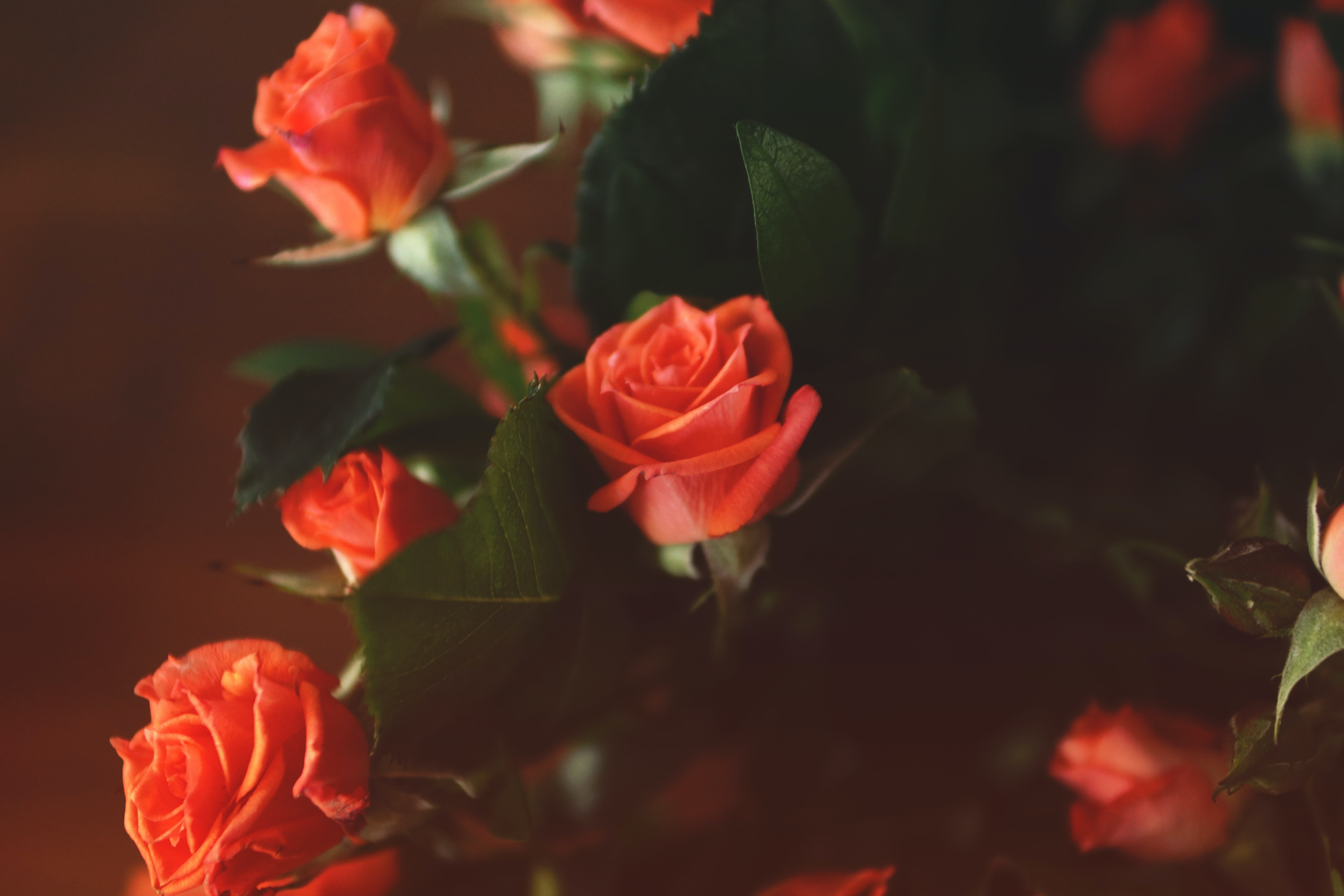 photo of red rose with green leaf arrangement