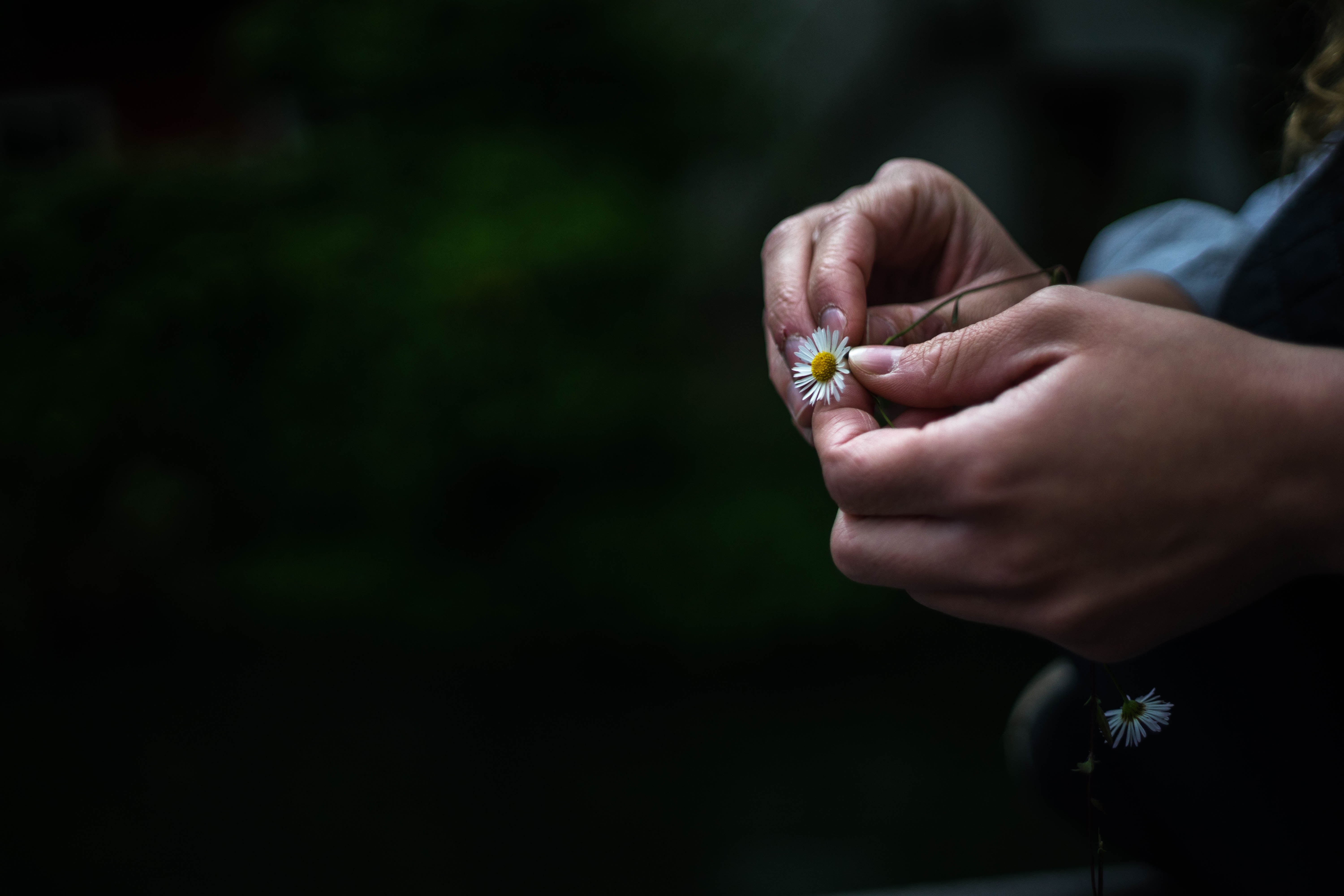 Hands holding a small daisy and picking its petals