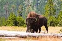 brown bison eating grass