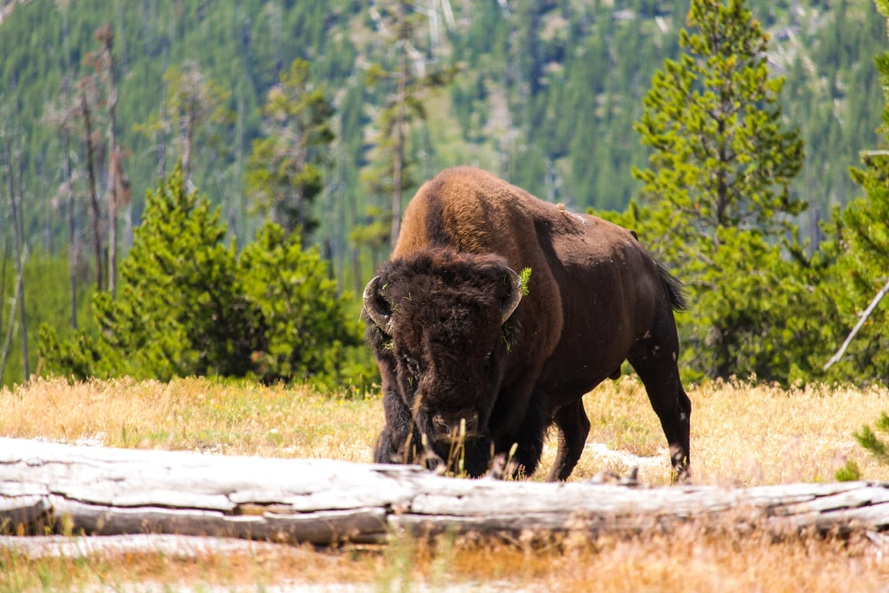 brown bison eating grass