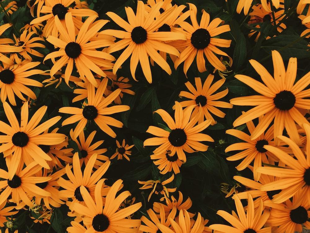 blackeyed Susan flowers