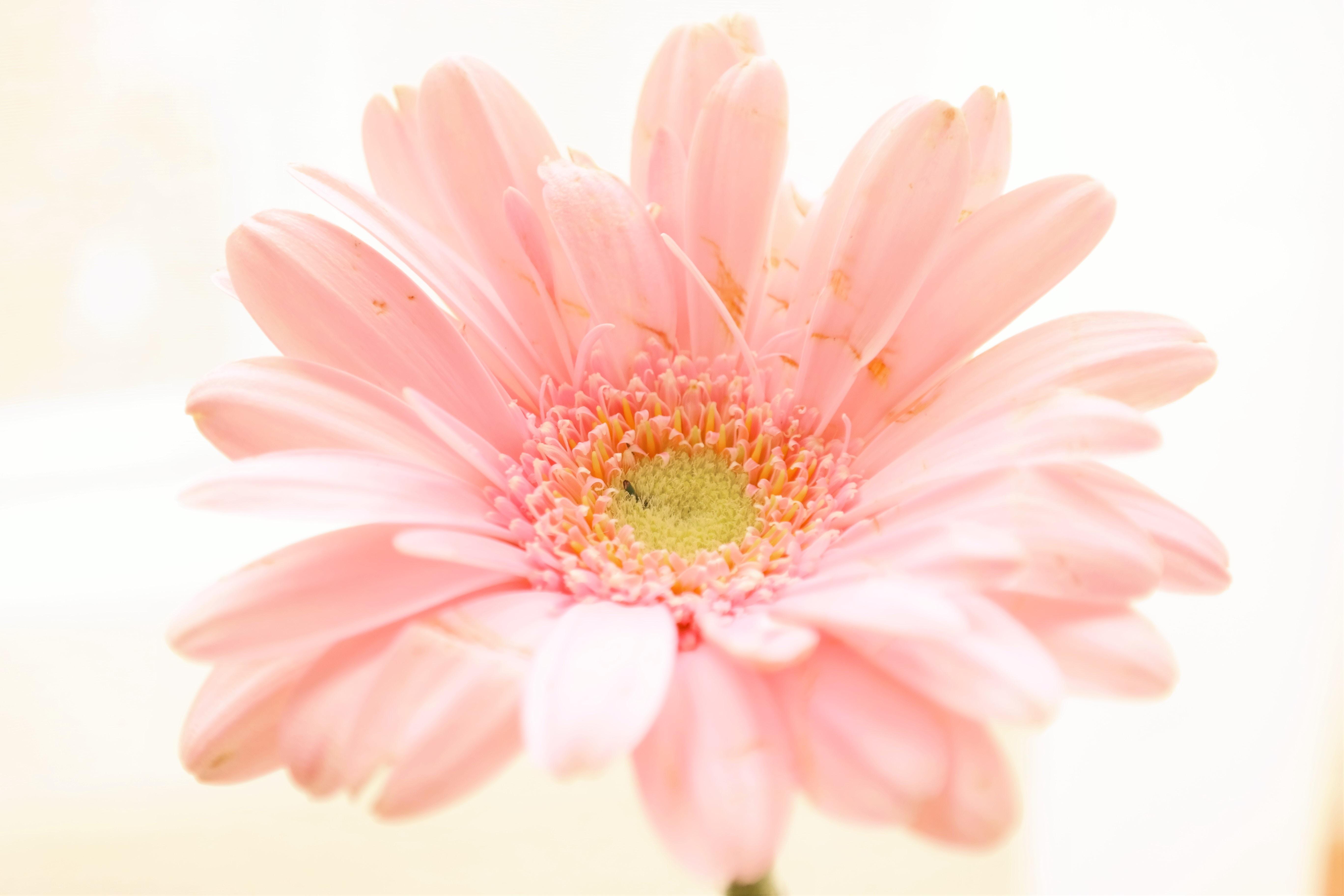 pink daisy flower in bloom
