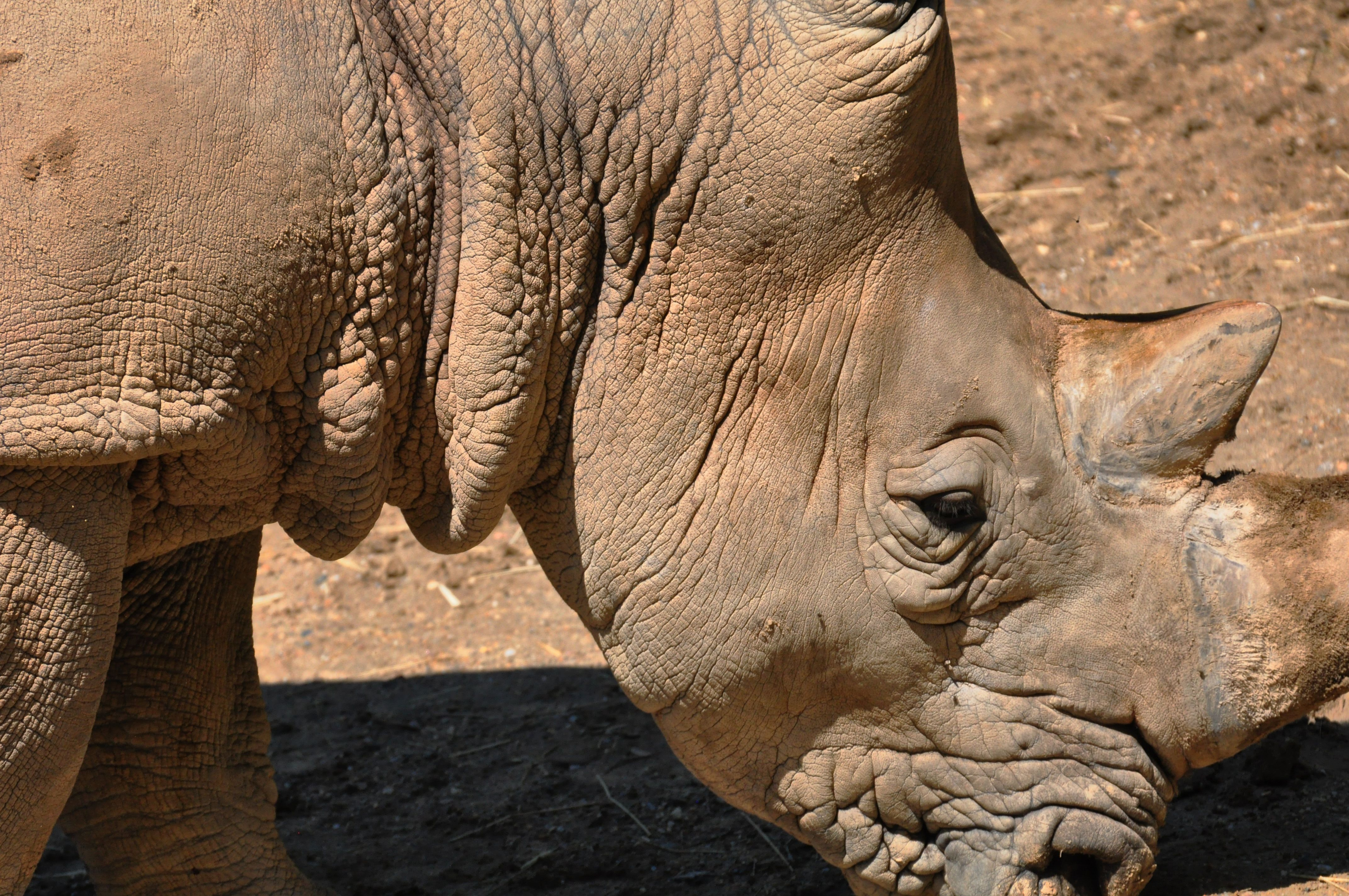 Macro rhino with its creased neck and closed eyes by a deser scene