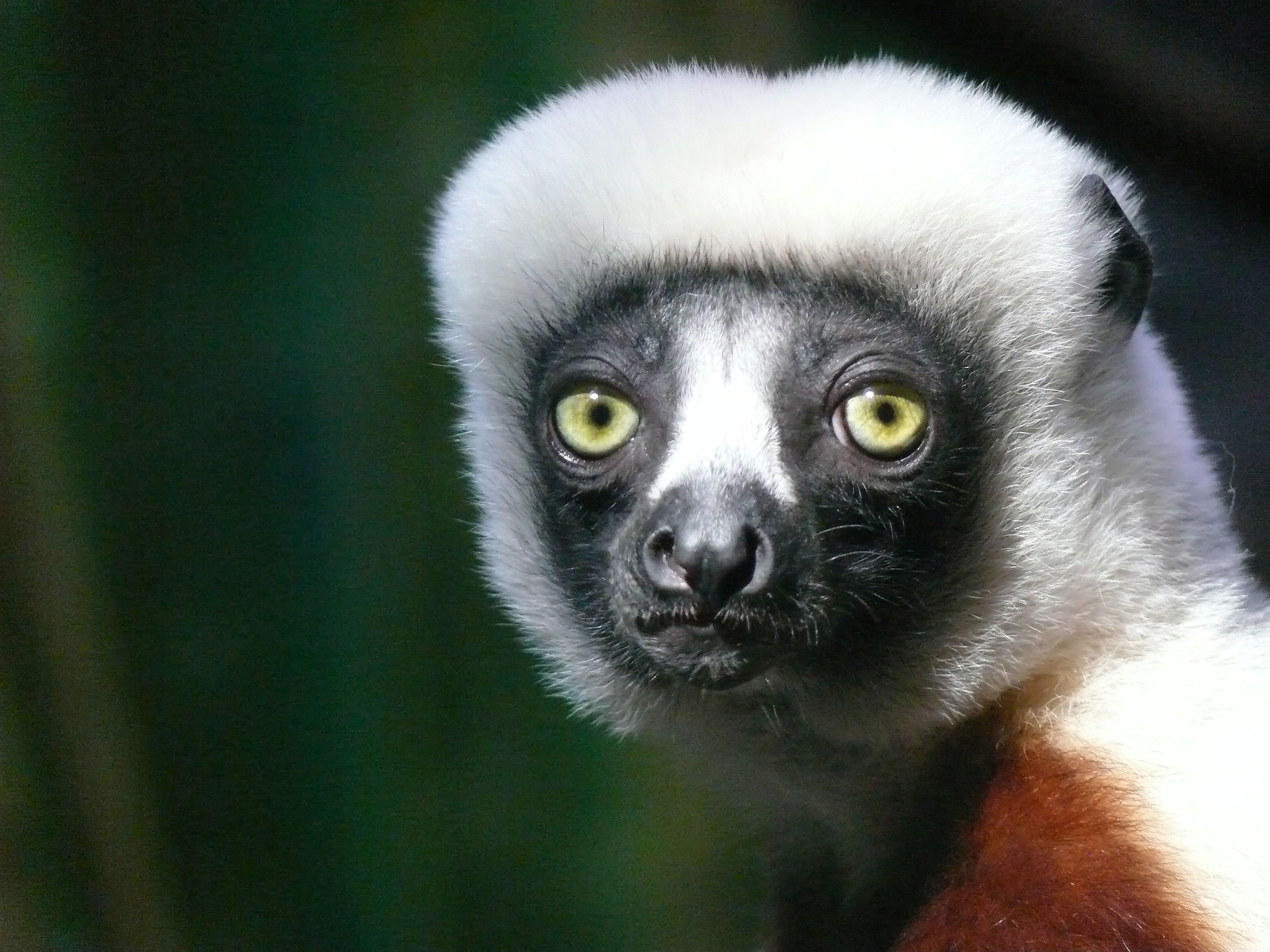 Macro of a lemur caught in the light with a dark background