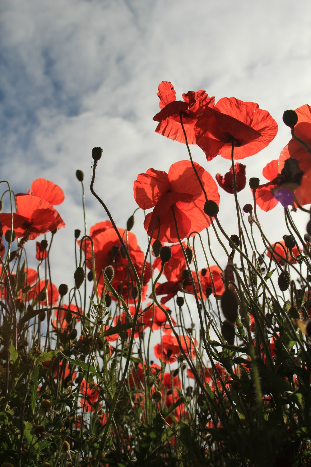 Open Blogs 1 Best Free Poppy Red Field And Floral Photos On