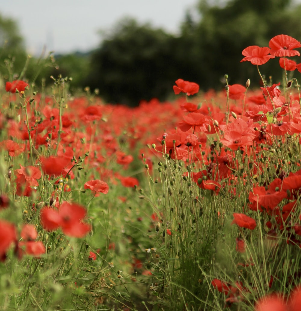 red petaled flower field at daytime
