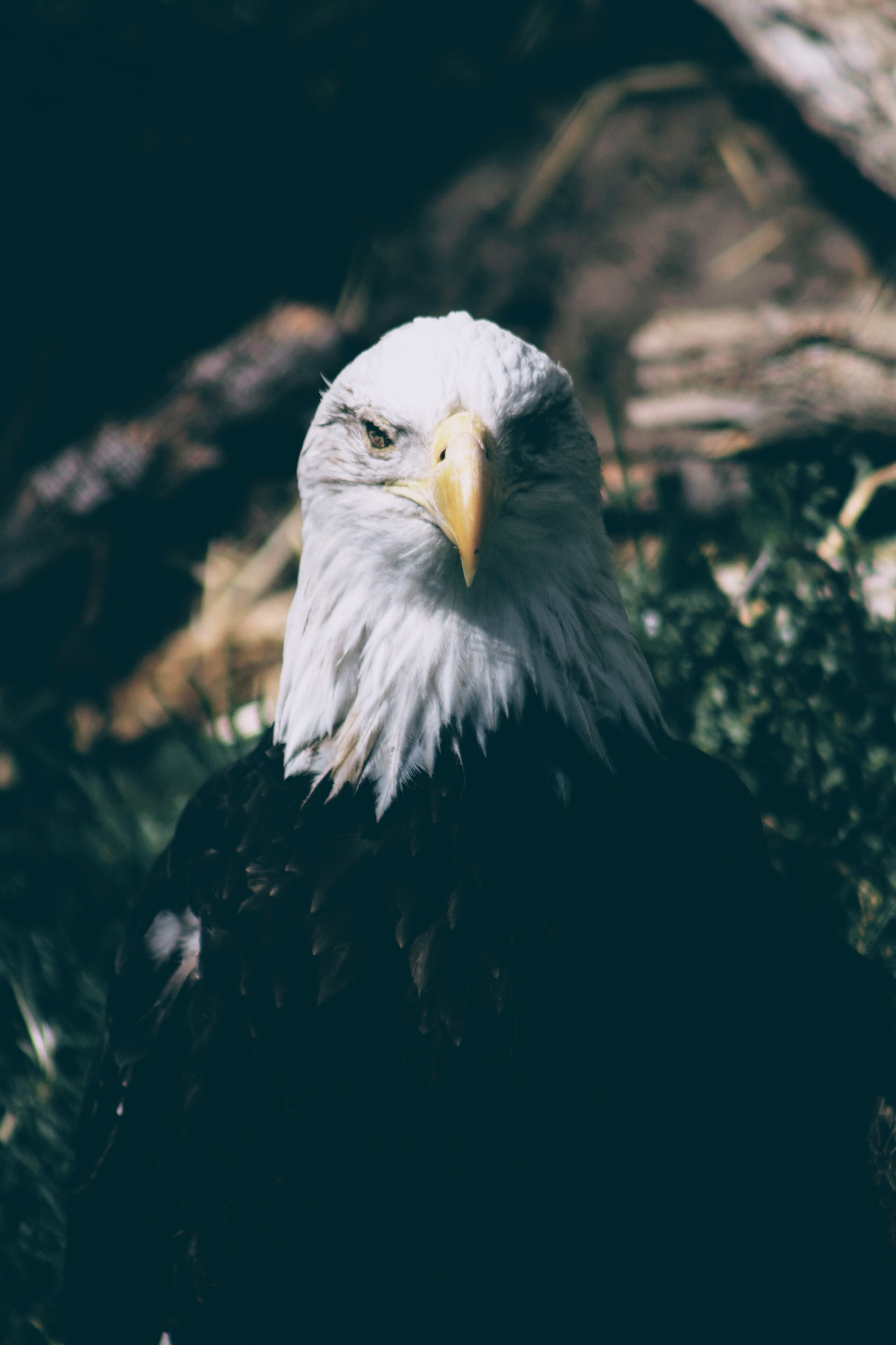 A bald eagle facing directly at camera beside a bush and some trees