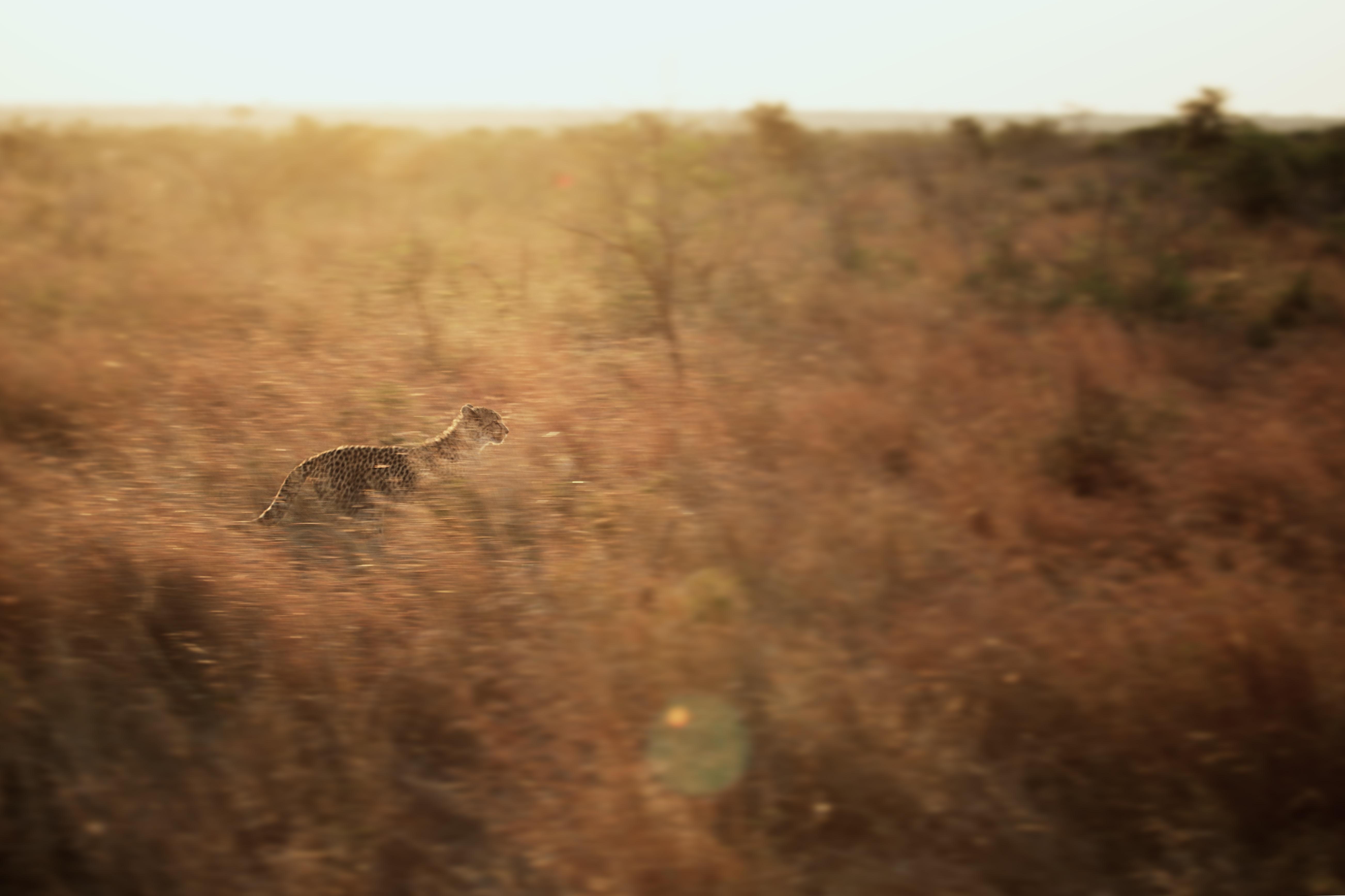 brown animal running on green grass field