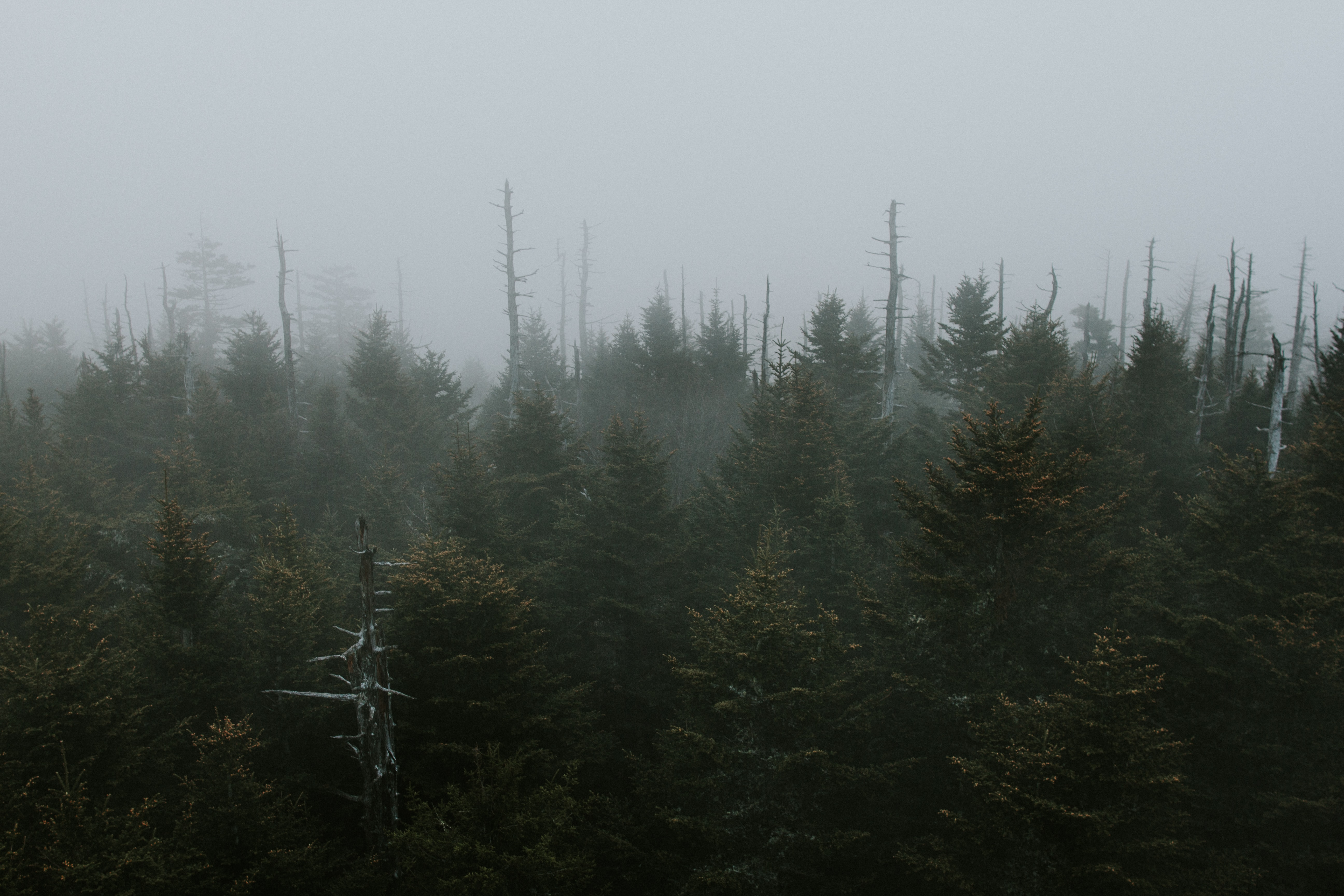 Several dead trees jutting out from an evergreen forest under a pale sky