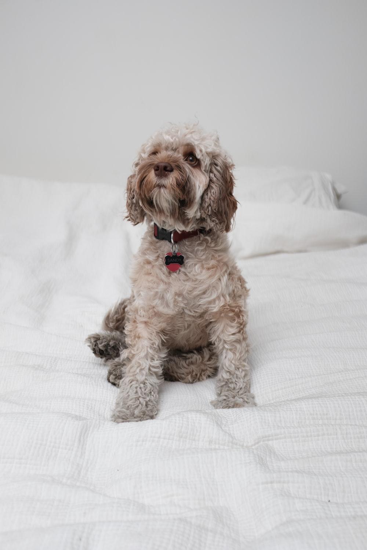 long-coated grey dog on wite blanket