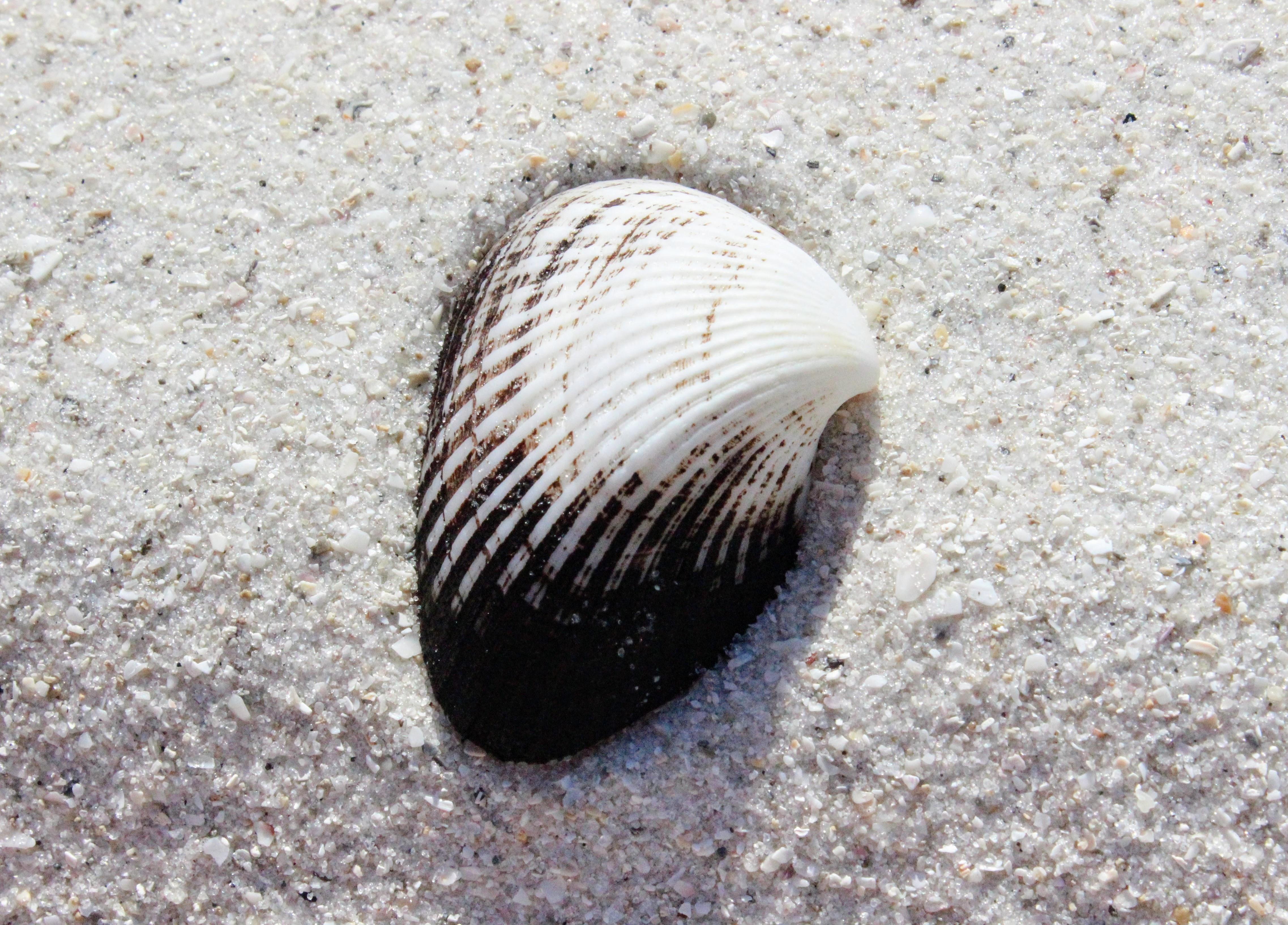 white and black seashell on white sand
