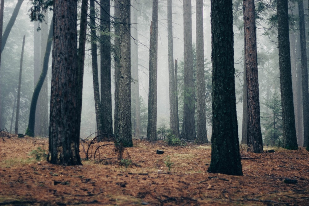 forest with fogs at daytime